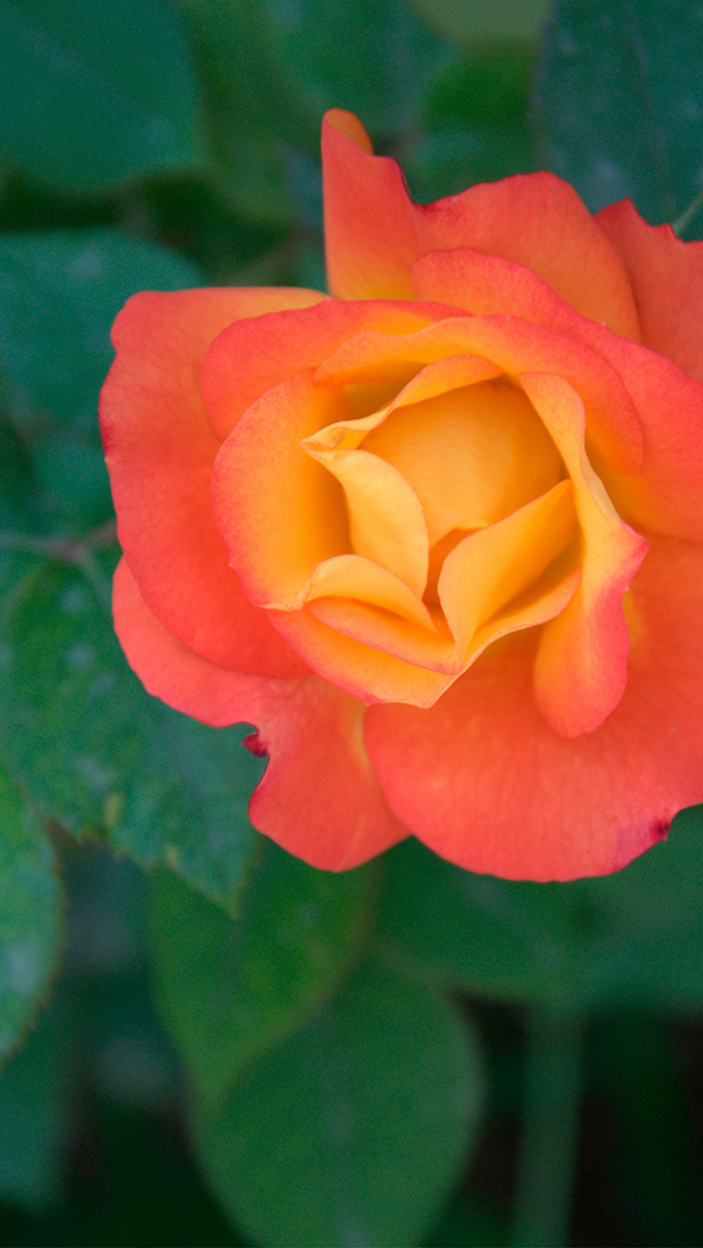 Orange rose 3Wallpapers iPhone 5 Orange Rose