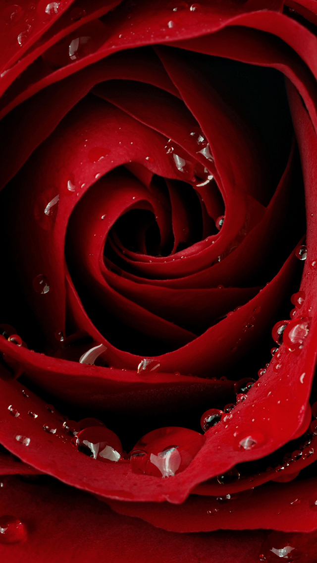 Red Rose Wallpaper for iPhone 11, Pro Max, X, 8, 7, 6 - Free Download on 3Wallpapers