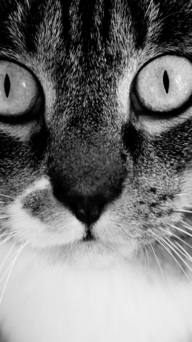 Black And White Cat Wallpaper For Iphone X 8 7 6 Free Download