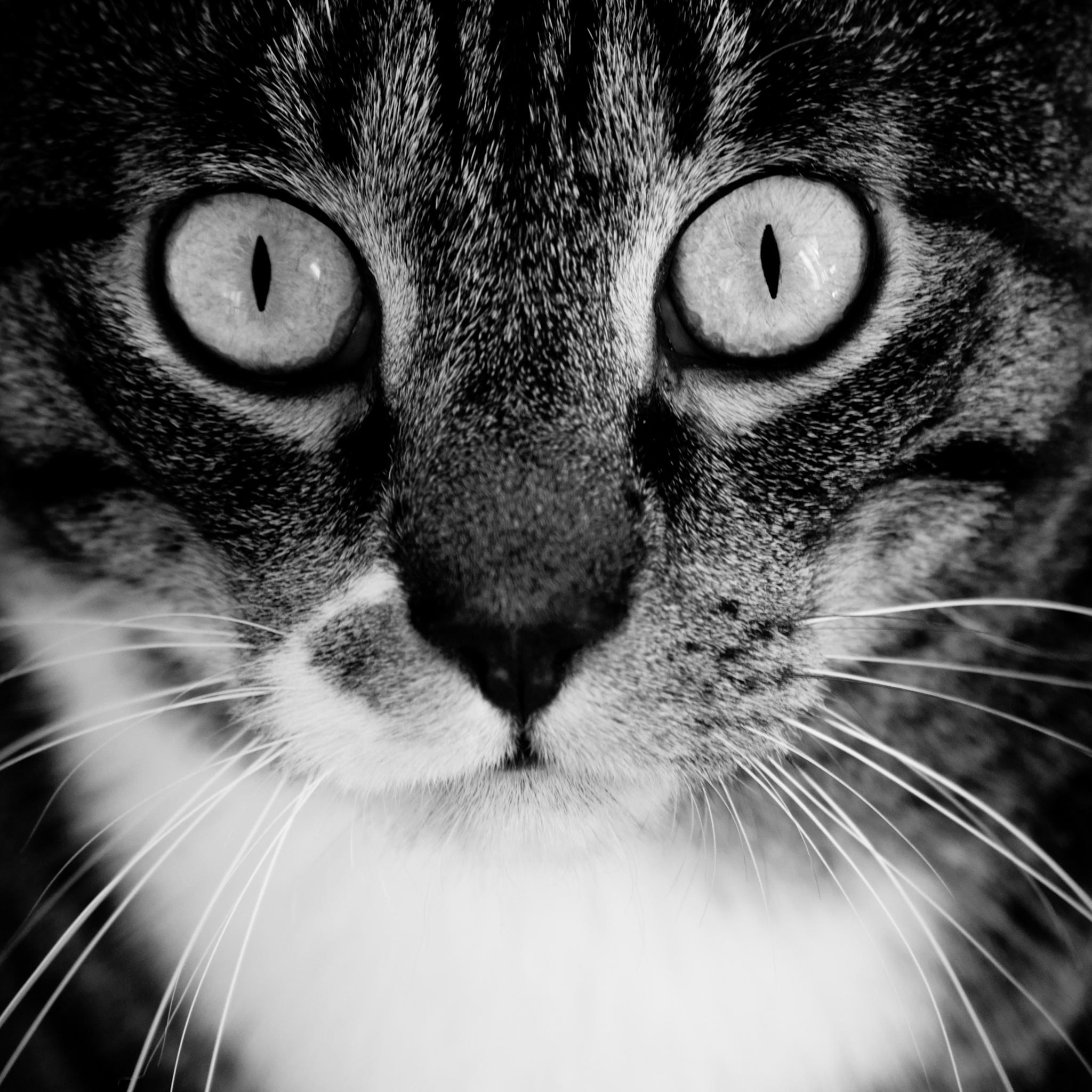Black and White Cat 3Wallpapers ipad Retina Black and White Cat   iPad