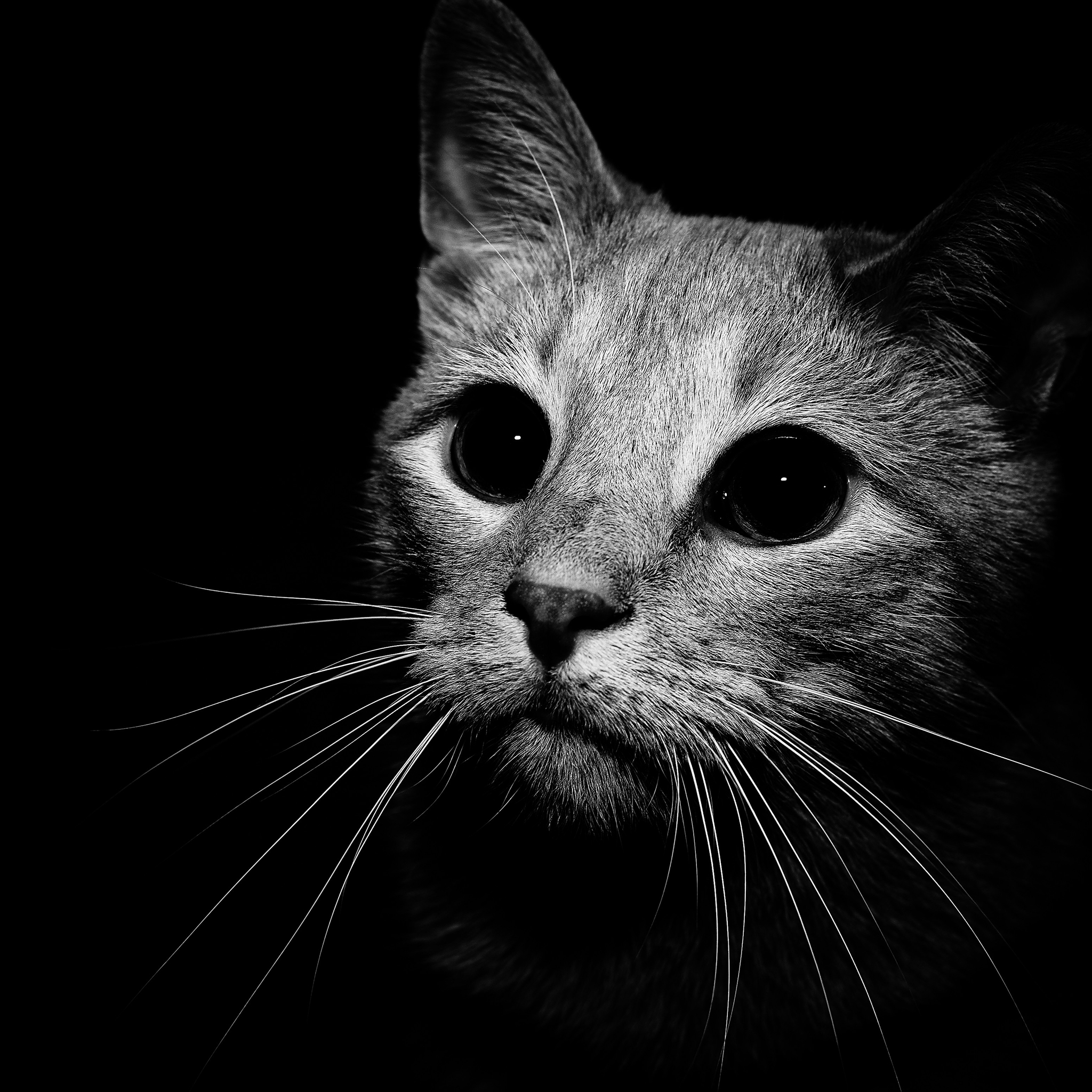 Cat in Black and White 3Wallpapers iPad Retina Cat in Black and White   iPad Retina