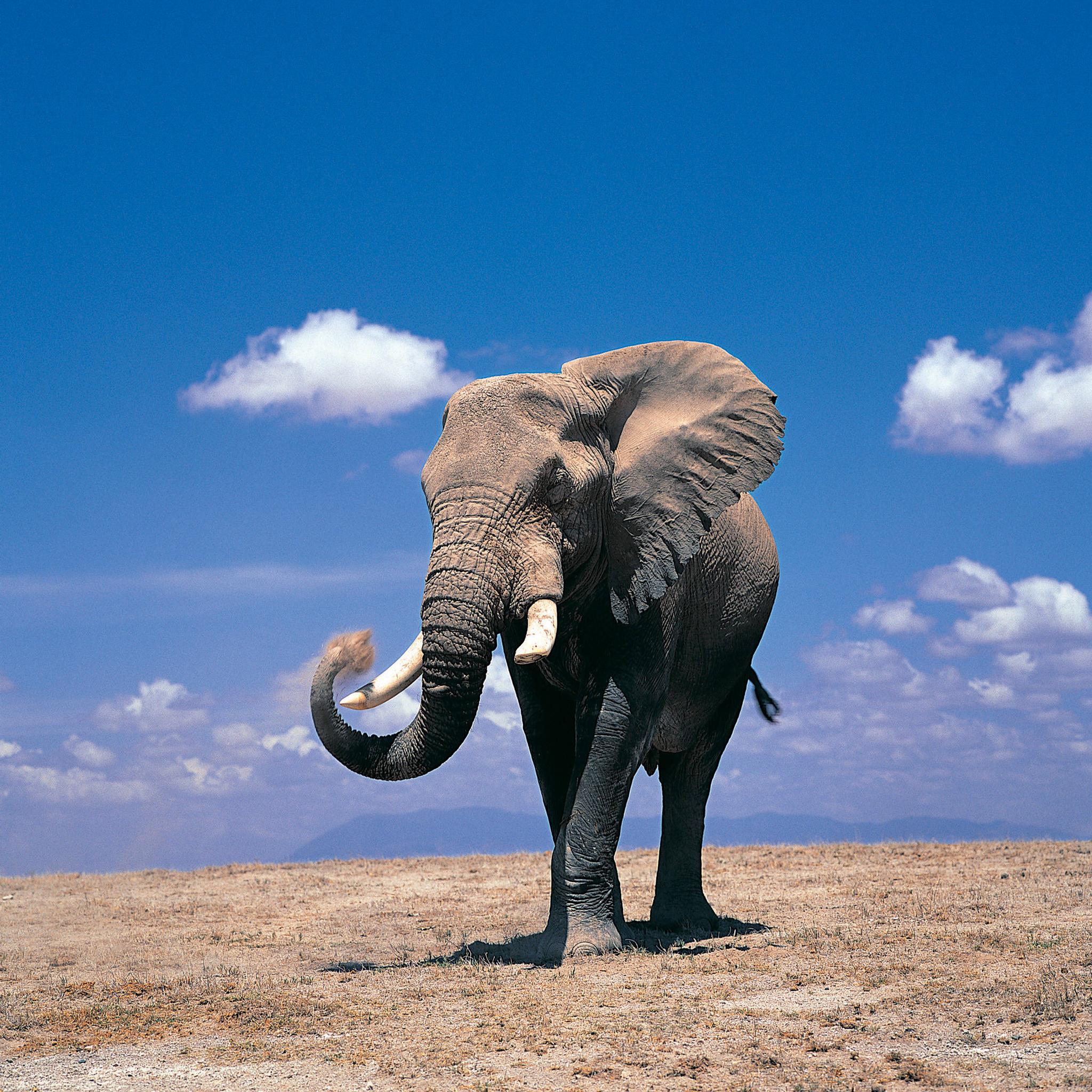 Elephant 3Wallpapers iPad Retina Elephant   iPad Retina