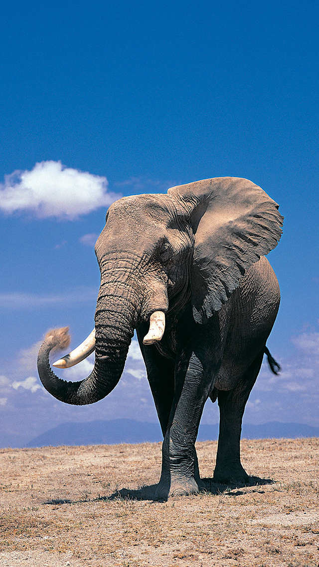 Elephant Wallpaper For Iphone X 8 7 6 Free Download On