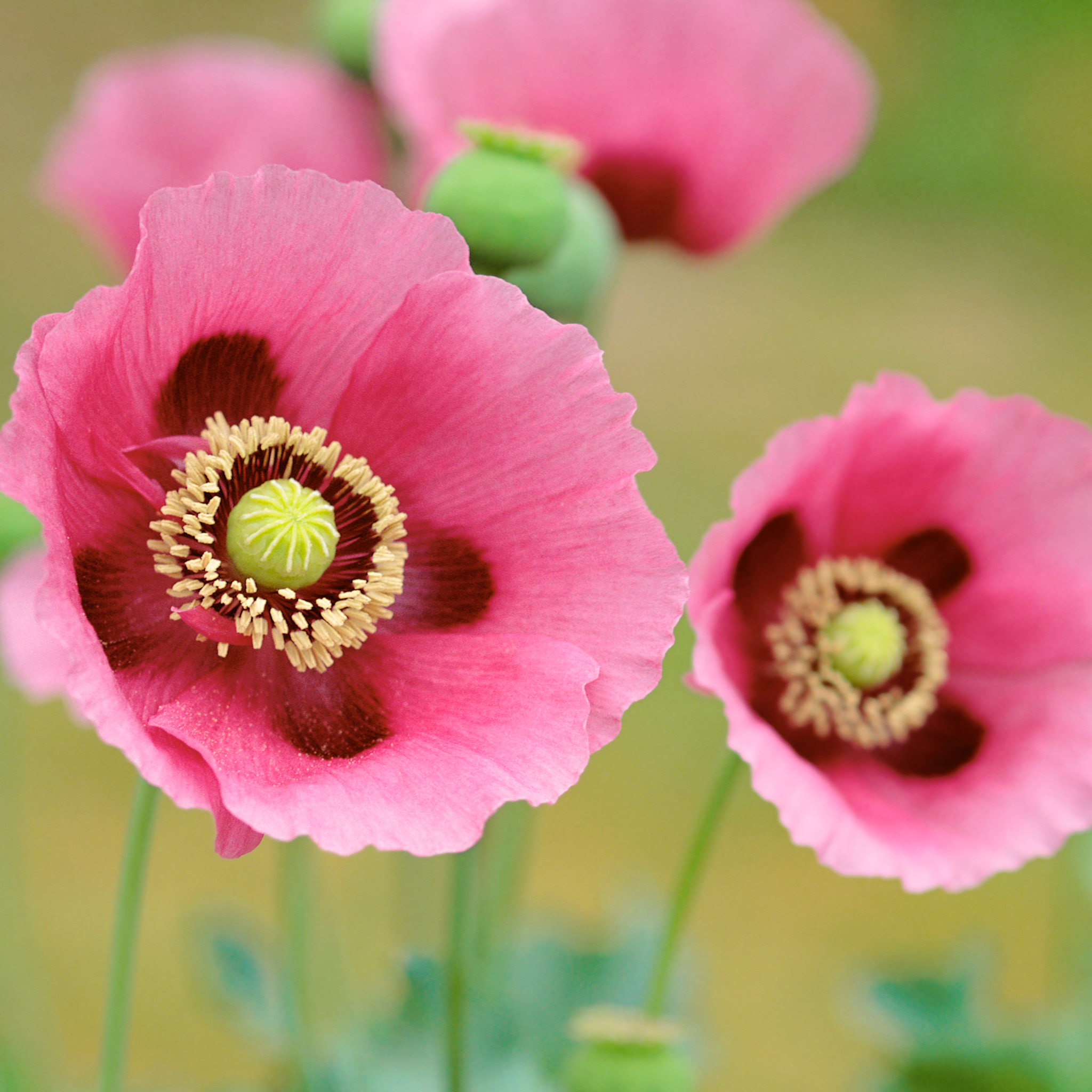 Poppies Flowers 3Wallpapers iPad Retina Poppies Flowers   iPad Retina