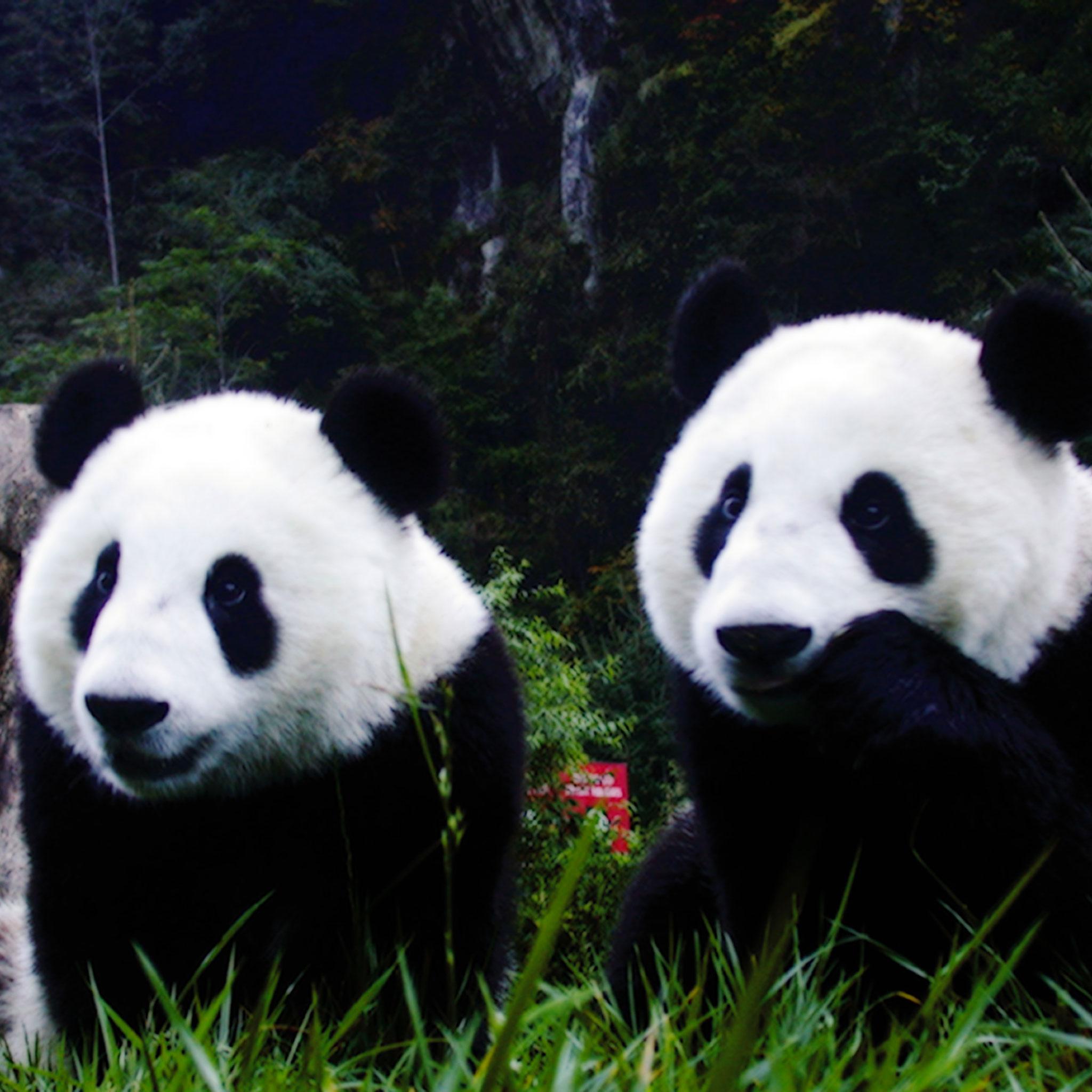 Animal Panda 3Wallpapers iPad Animal Panda   iPad