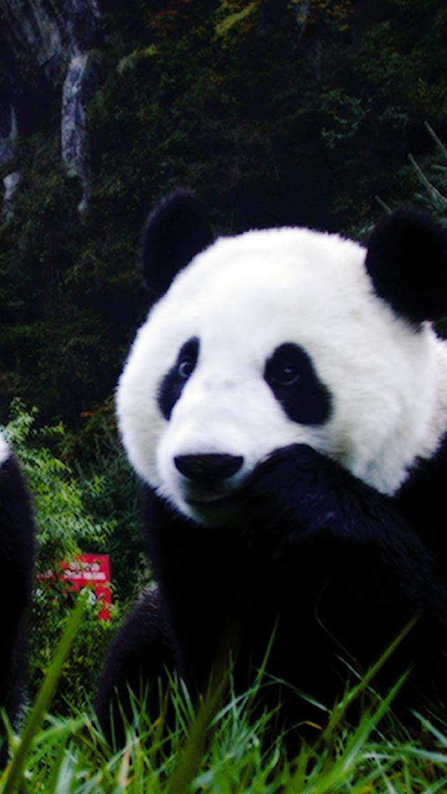 Animal Panda 3Wallpapers iPhone Animal Panda