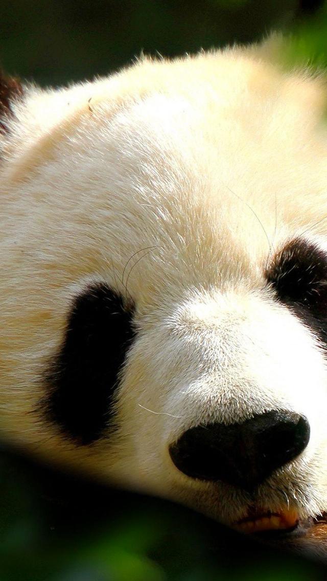 Panda 3Wallpapers iPhone Panda