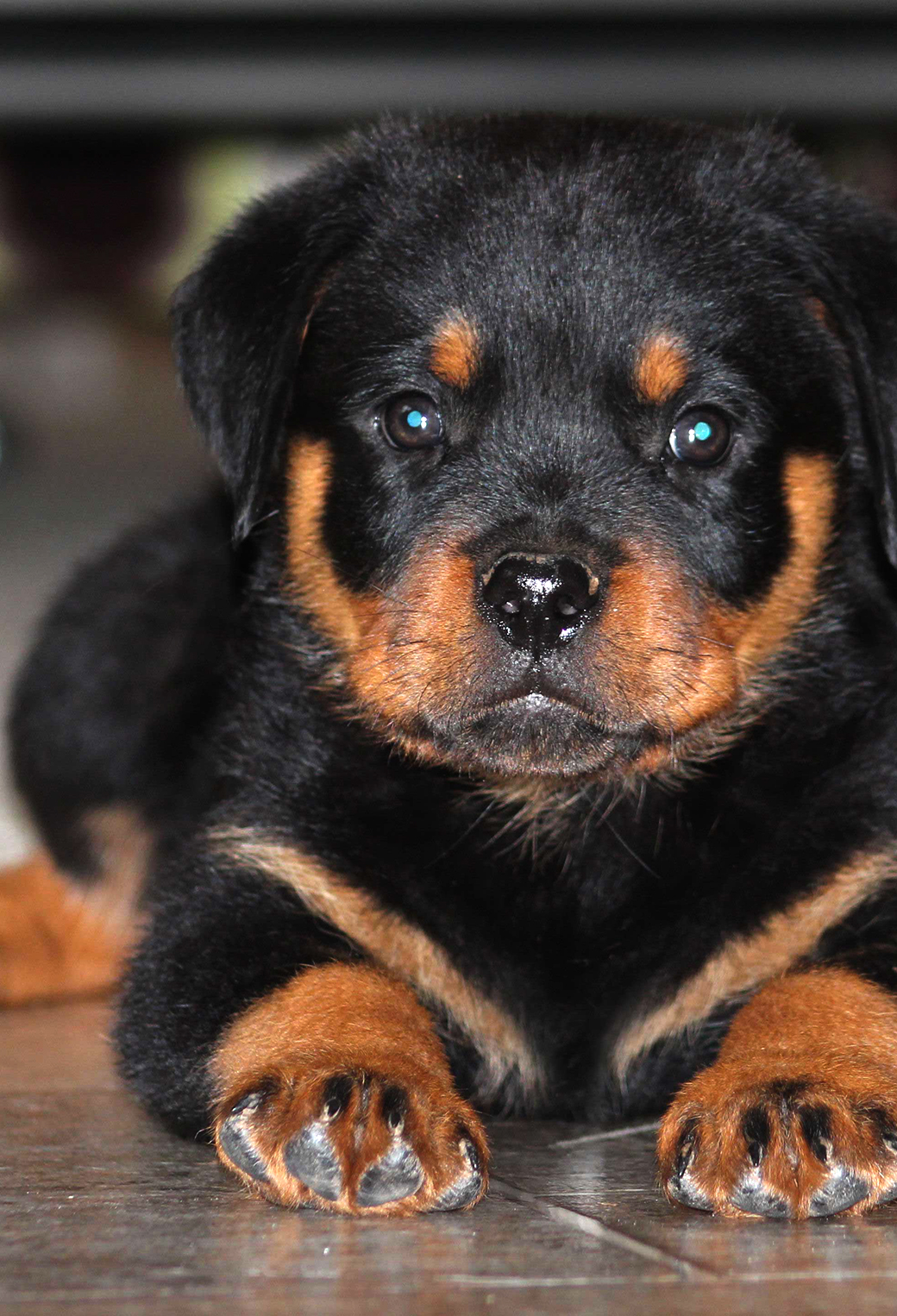 Rottweiler Puppies Wallpaper For Iphone X 8 7 6 Free Download