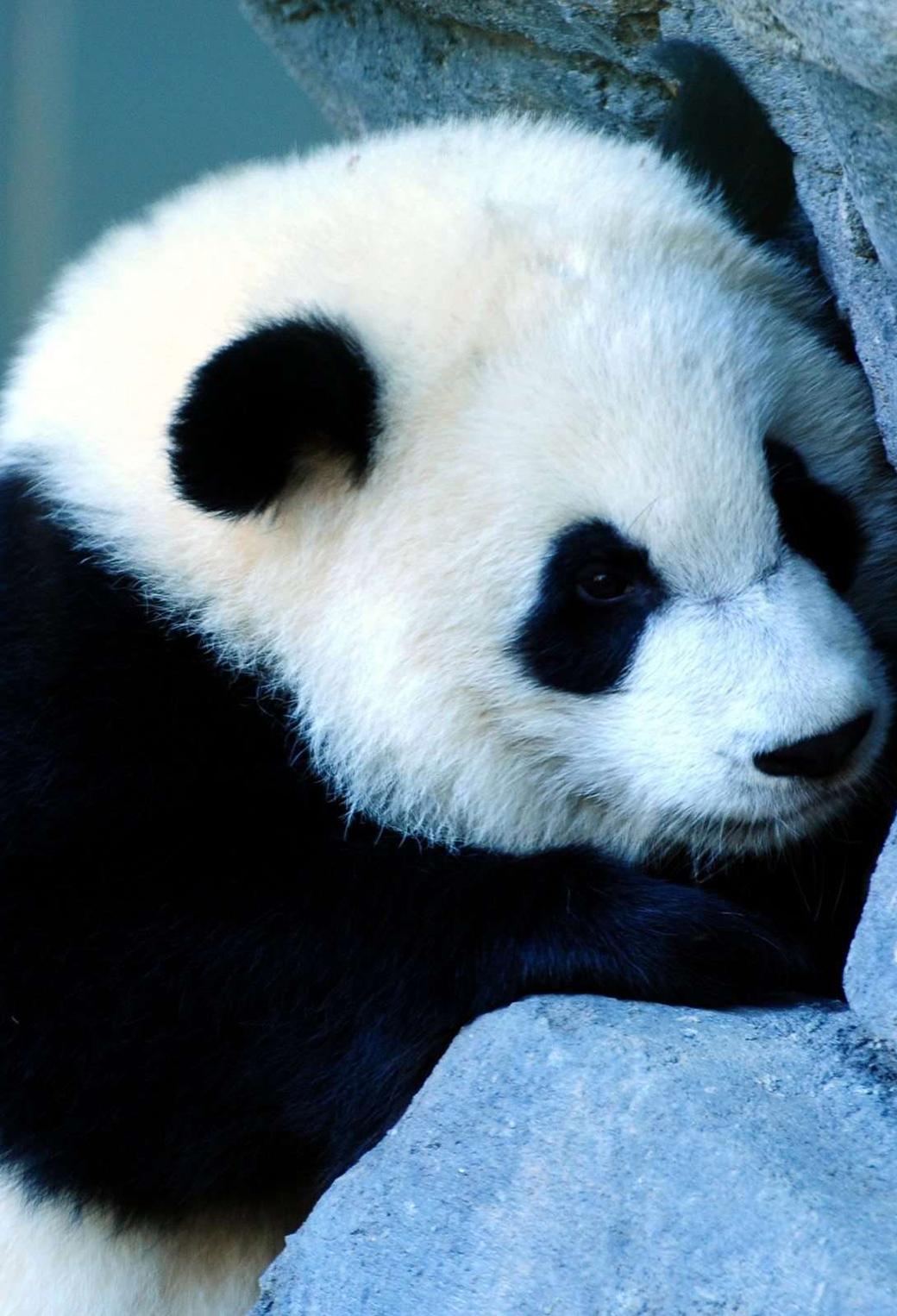 Cute Panda 3Wallppaers iPhone Parallax Cute Panda
