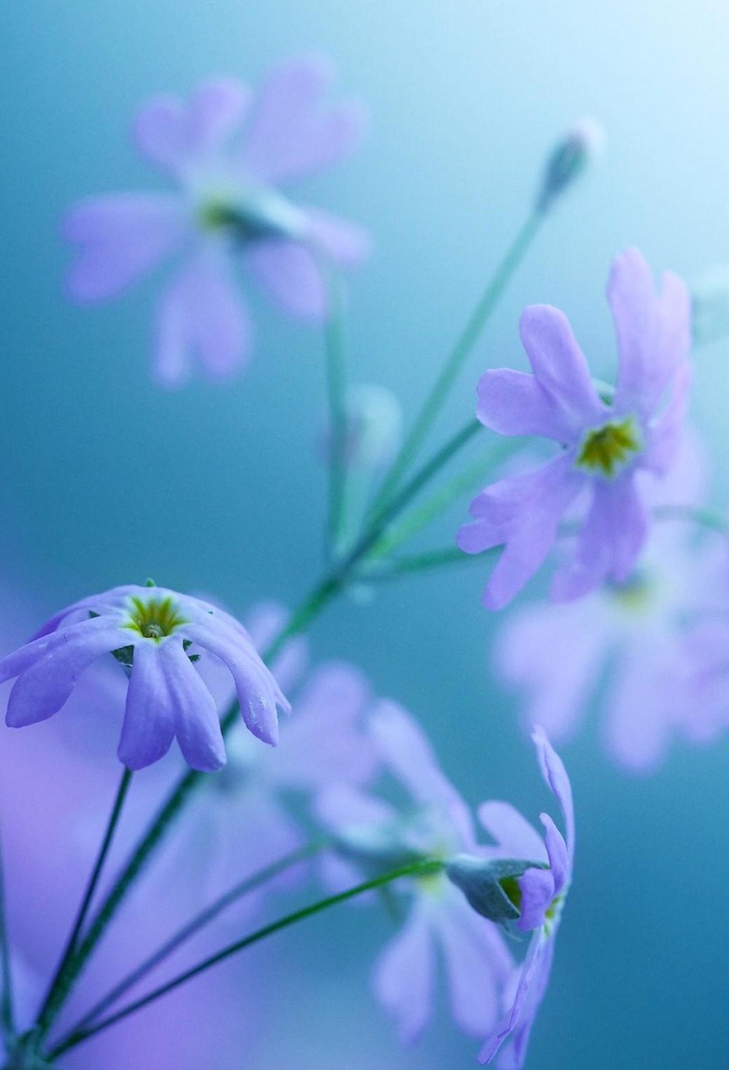 Purple Flowers 3Wallppaers iPhone Parallax Purple Flowers