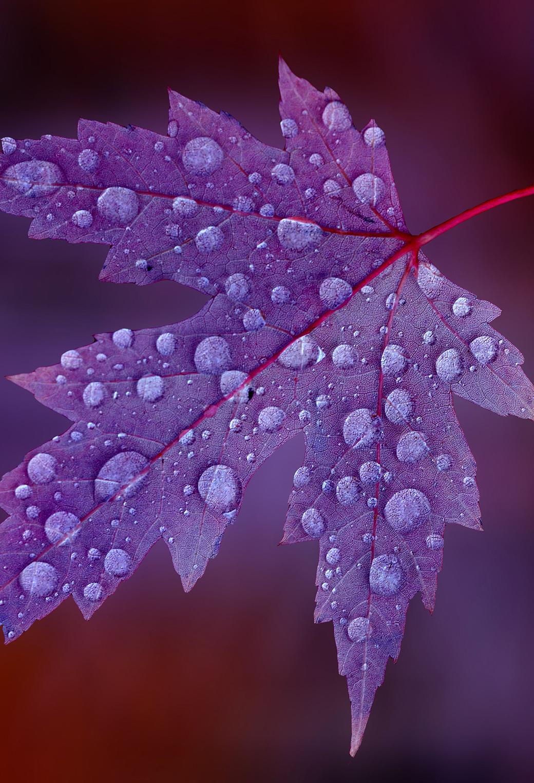 Purple Drops 3Wallpapers iPhone Parallax Purple Drops