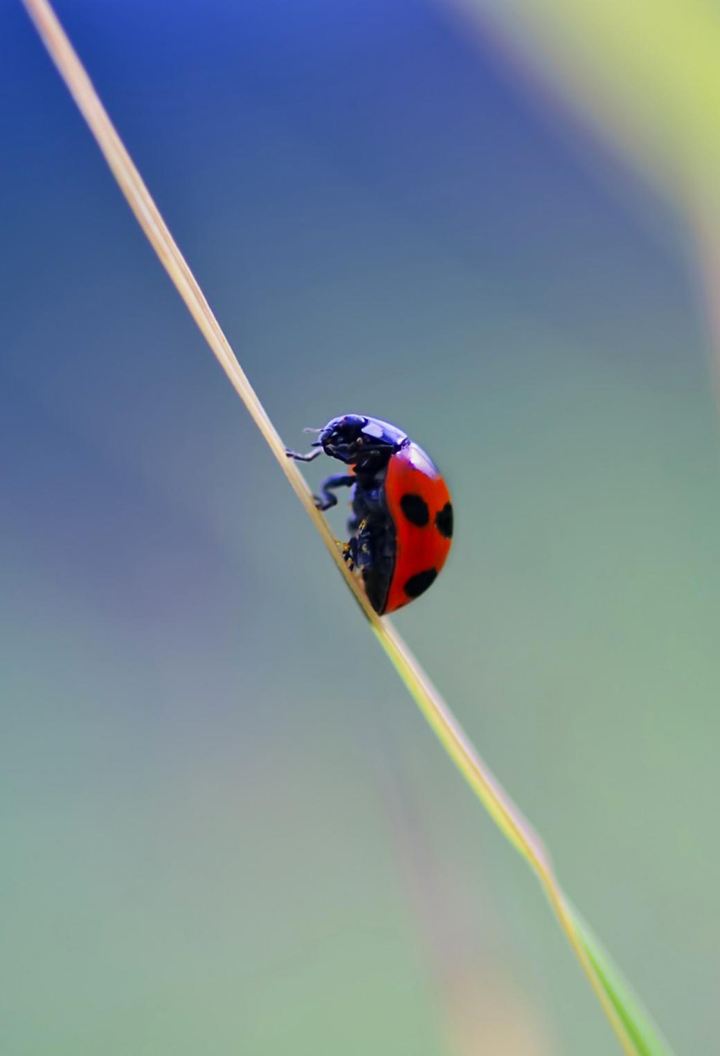 Ladybug 3Wallpapers iphone Parallax Ladybug