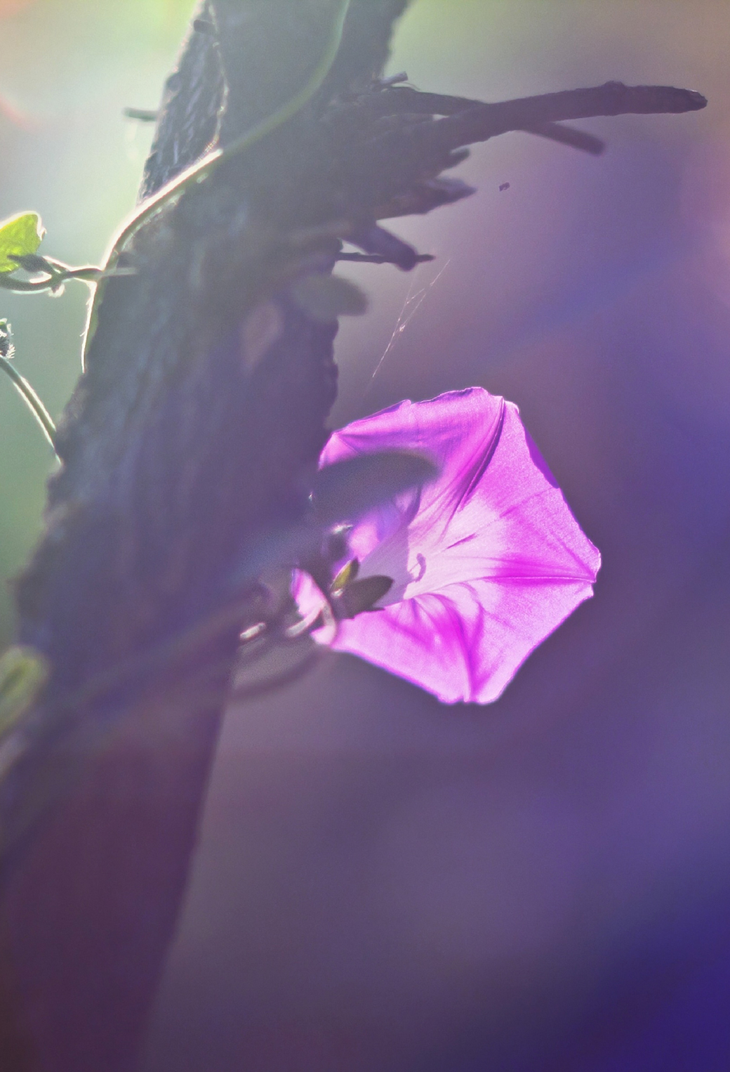 Morning Glory Vine 3Wallpapers iPhone Parallax Morning Glory Vine