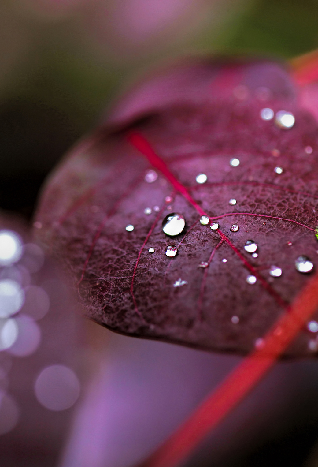 Morning Water Drops On Red Leaves 3Wallpapers iPhone Parallax Morning Water Drops On Red Leaves