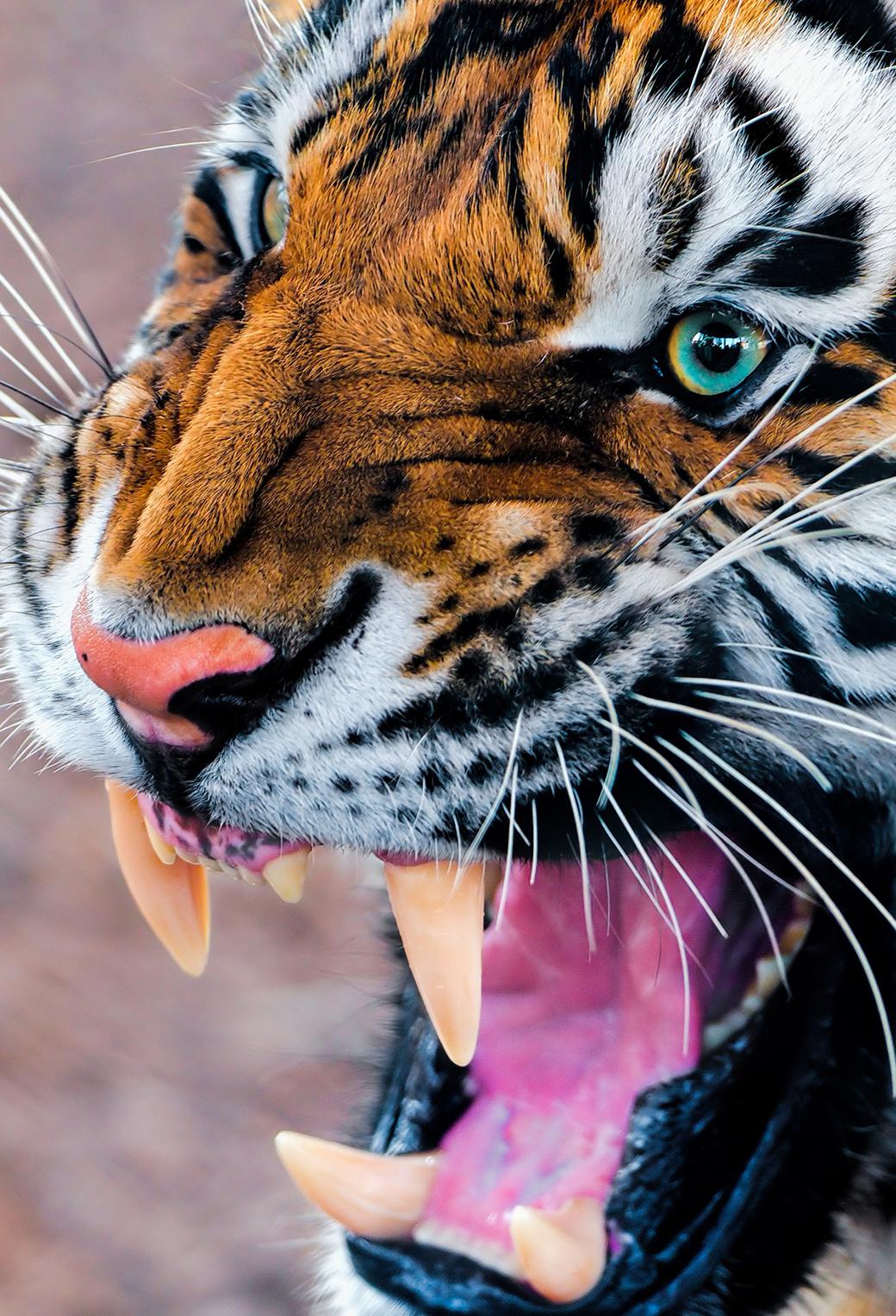 Snarling Tiger 3Wallpapers iPhone Parallax Snarling Tiger