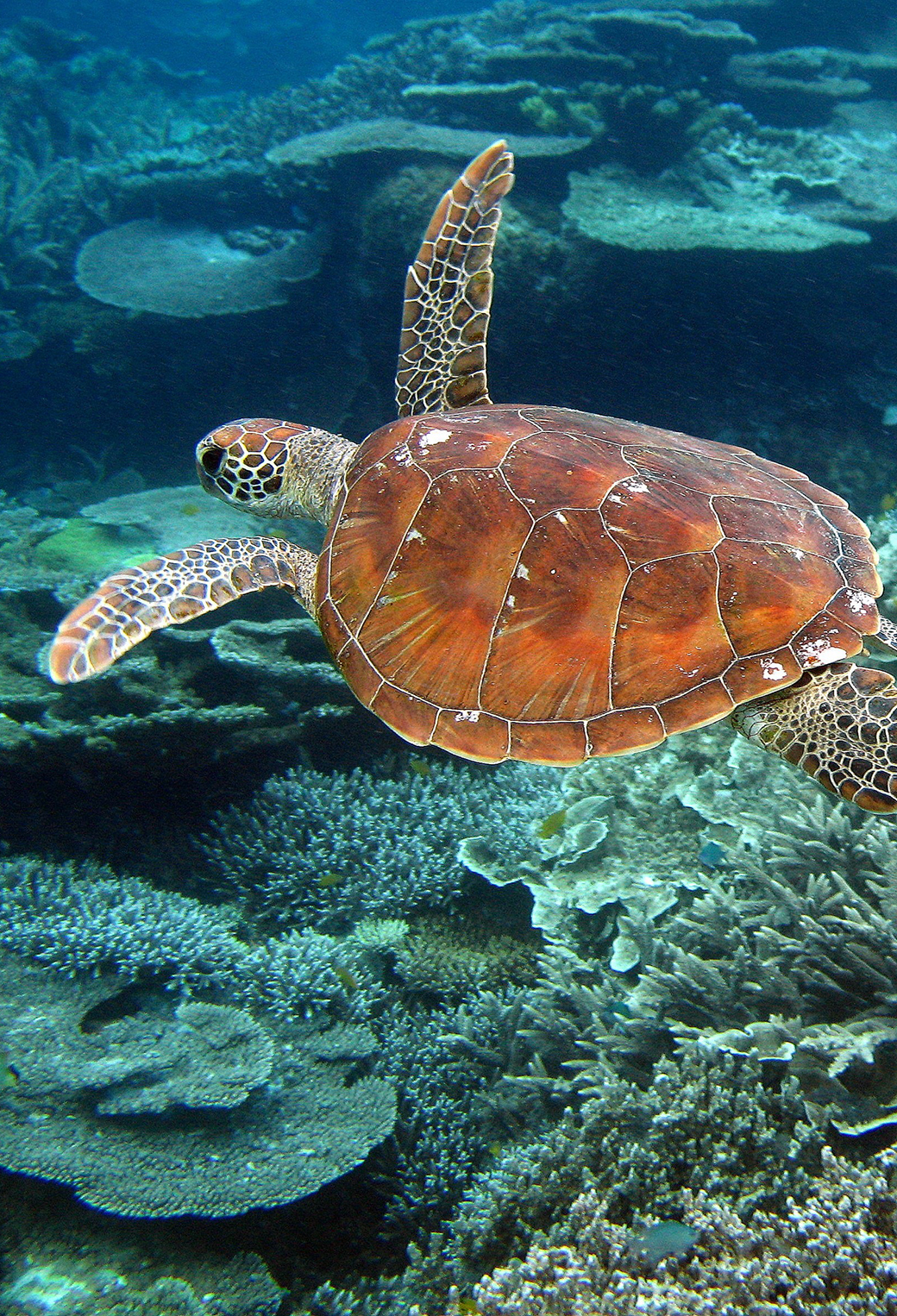 Turtle Reef Wallpaper For Iphone X 8 7 6 Free Download On