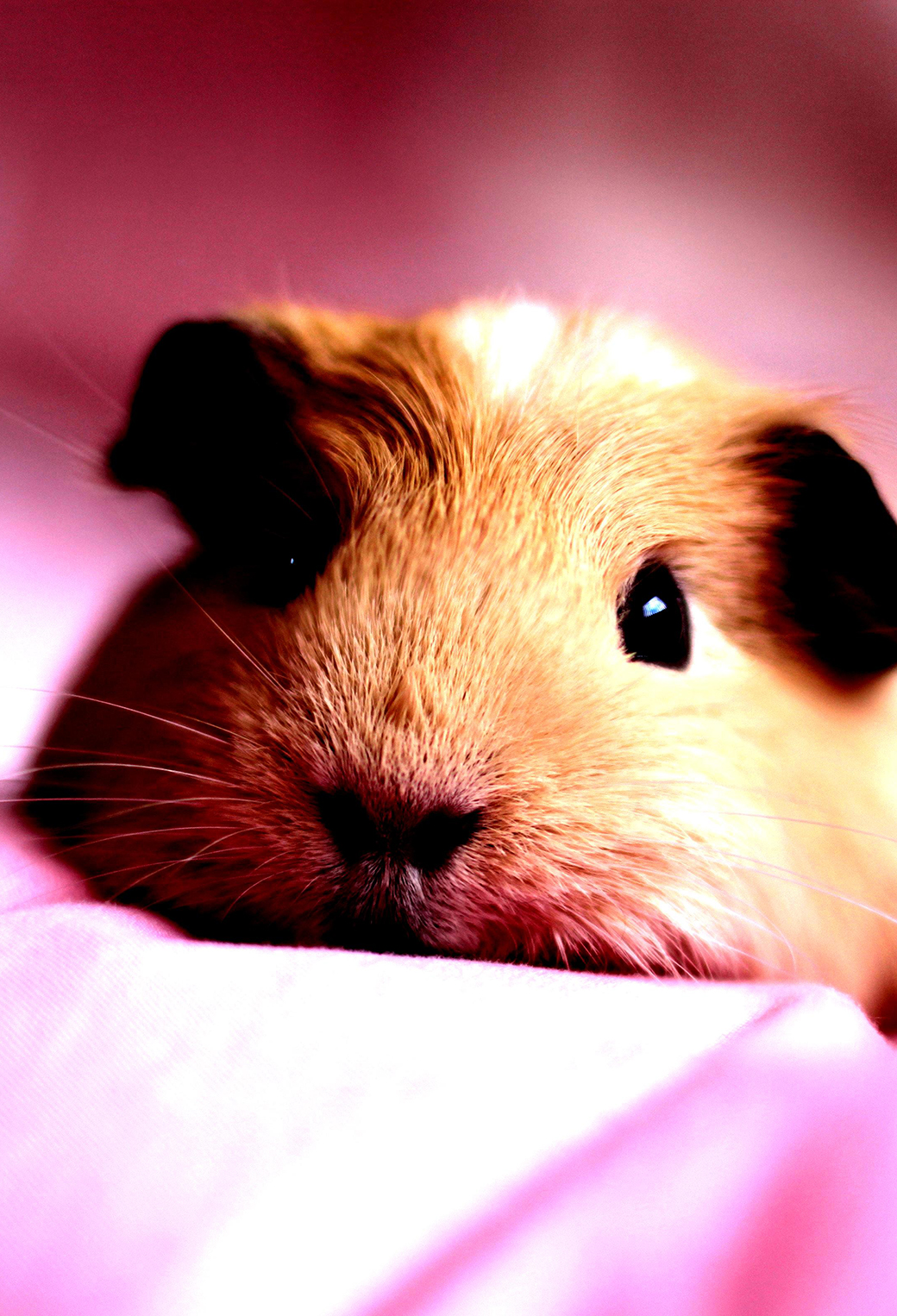 Guinea Pigs Pets 3Wallpapers iPhone Parallax Guinea Pigs Pets