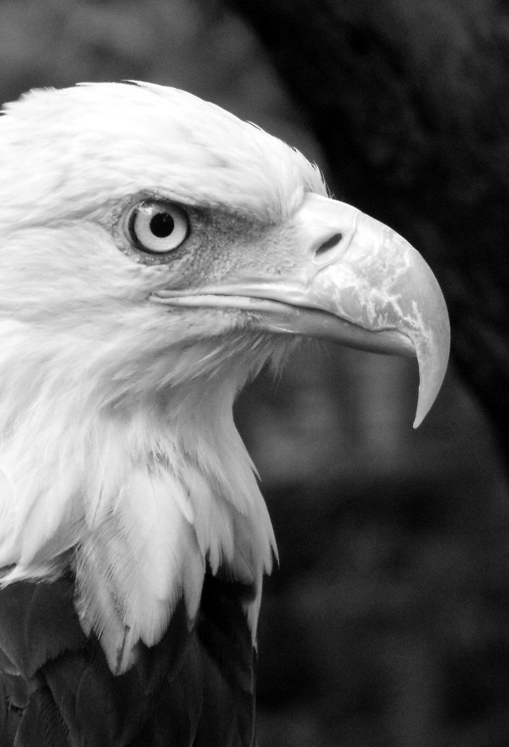 Black White Eagle 3Wallpapers Iphone Parallax Black & White Eagle