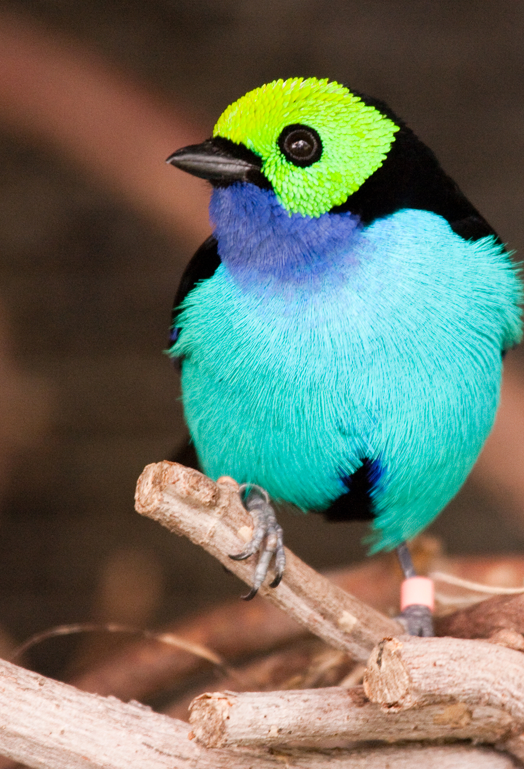 Paradise Tanager 3Wallpapers iphone Parallax Paradise Tanager