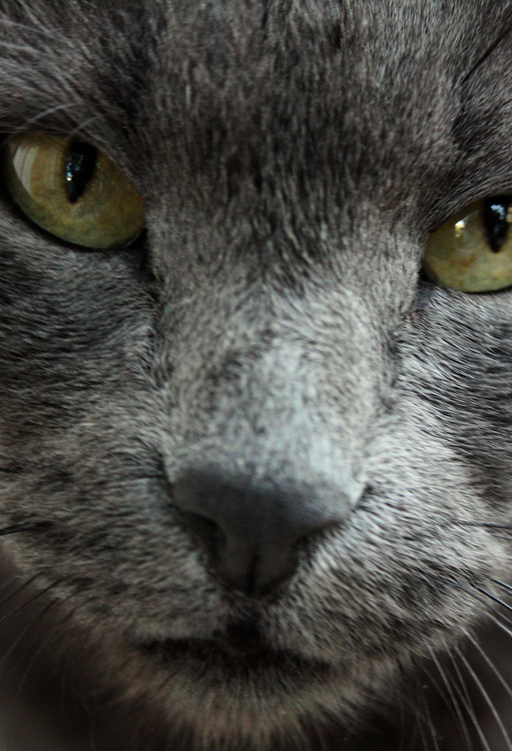Russian Blue Cat 3Wallpapers iphone Parallax Russian Blue Cat