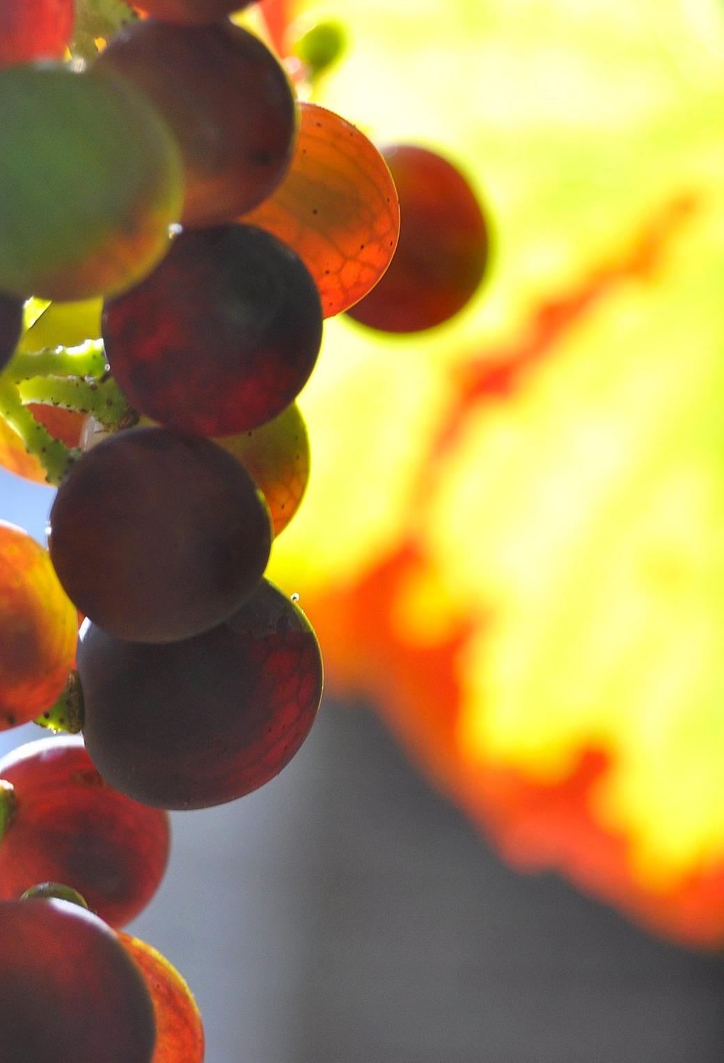 English Grapes 3Wallpapers iPhone Parallax English Grapes