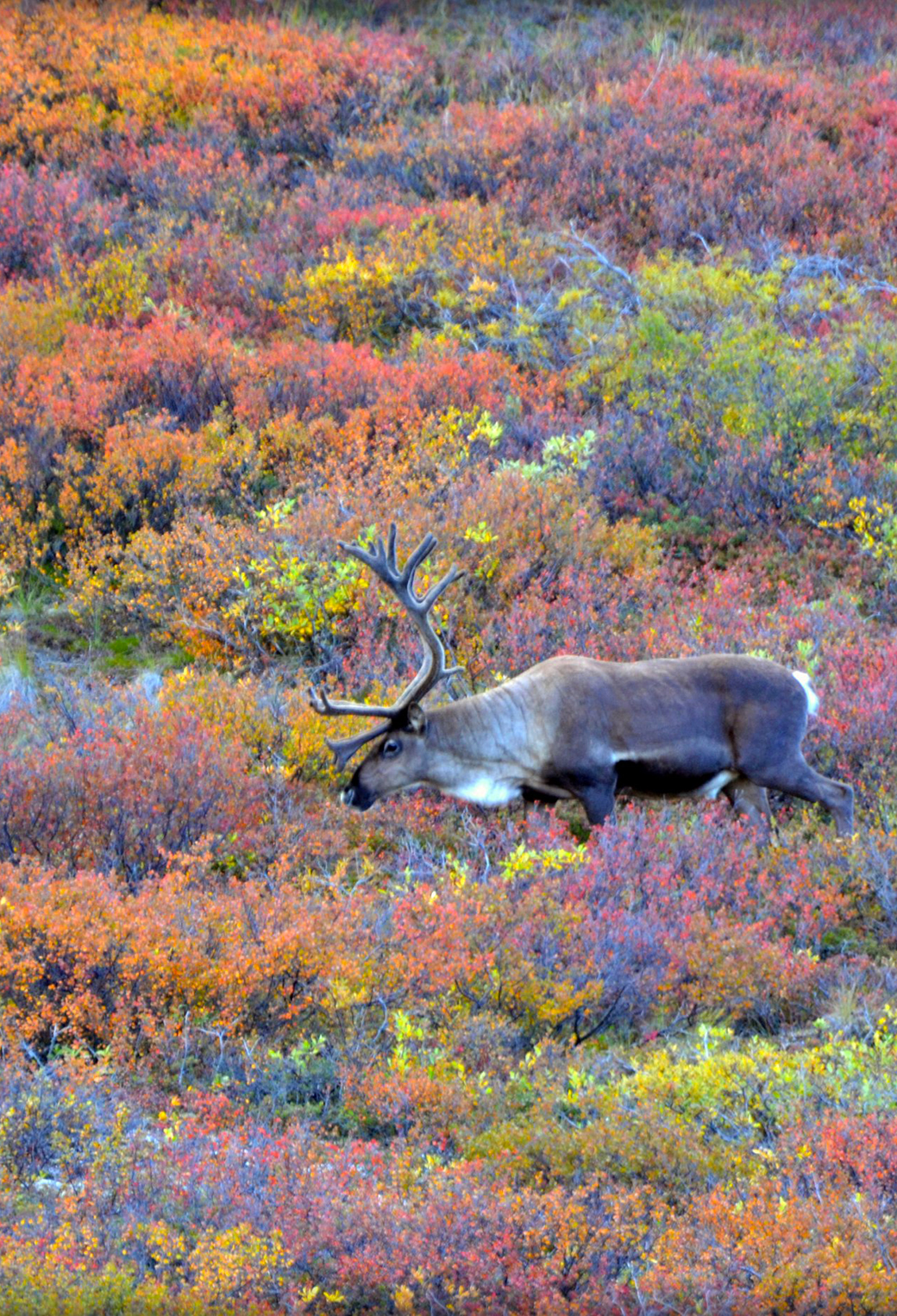 Caribou in Autumn 3Wallpapers iPhone Parallax Caribou in Autumn