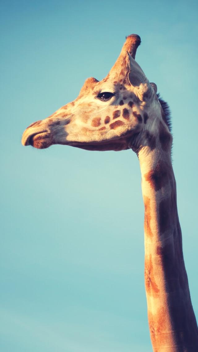 Girafe 3Wallpapers iPhone Parallax Girafe