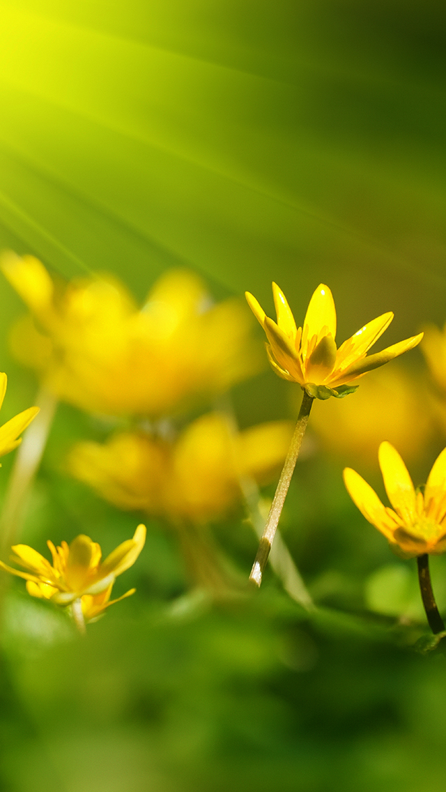 Yellow Flowers Wallpaper For Iphone X 8 7 6 Free