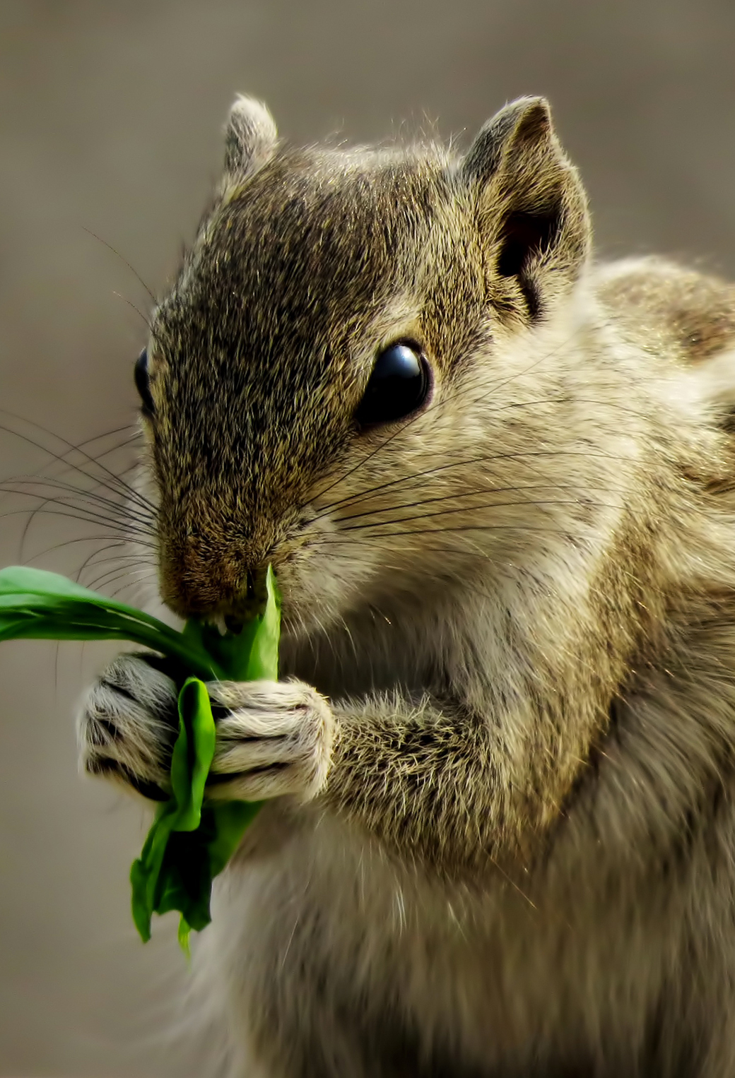 Indian palm squirrel | Wiki | Everipedia |Indian Squirrel Wallpaper