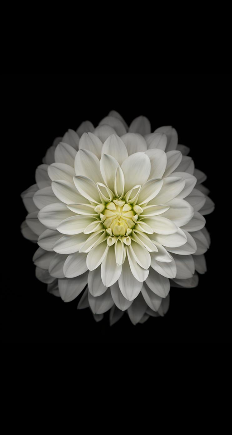 Jason Zigrino iOS 8 GM Wallpapers 12 White Flower