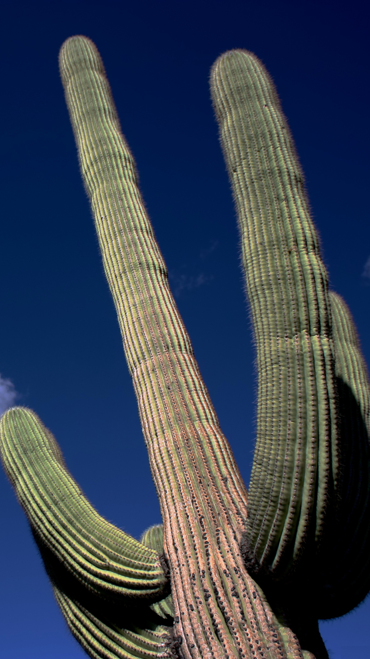 Cactus Saguaro Wallpaper For Iphone X 8 7 6 Free Download On