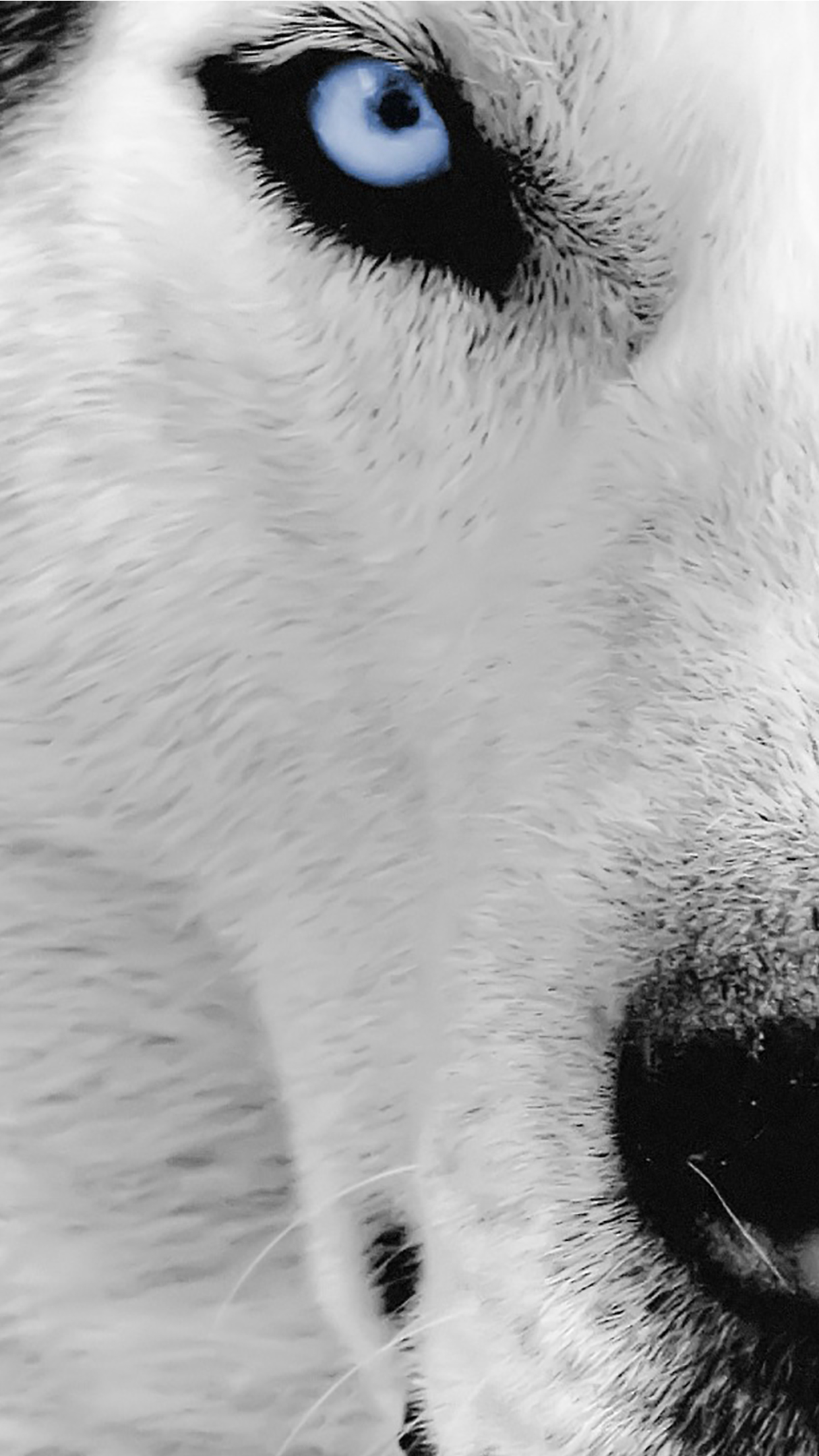 wallpaper hd iphone wolf eye free download