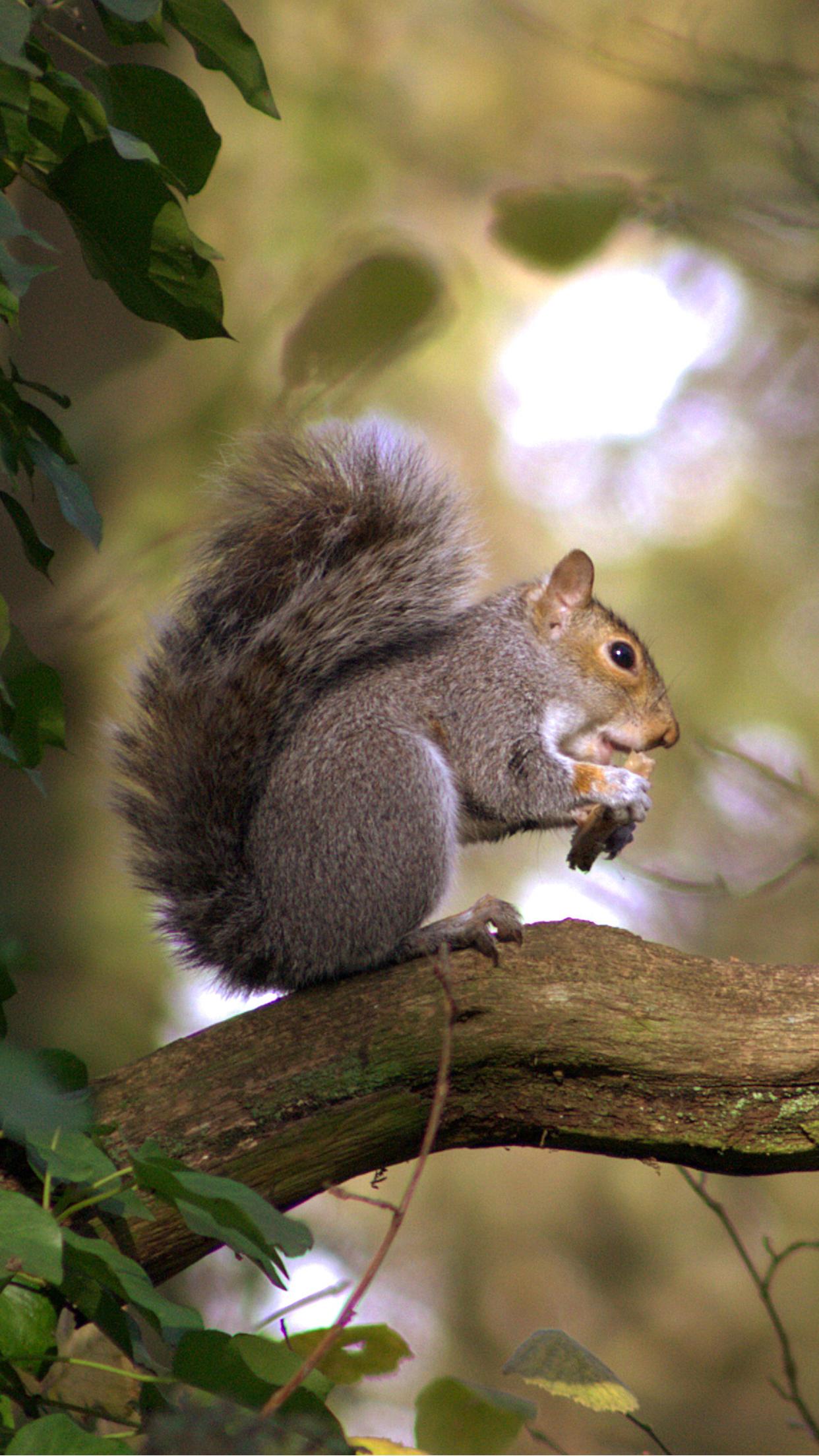 gray squirrel wallpaper - photo #19