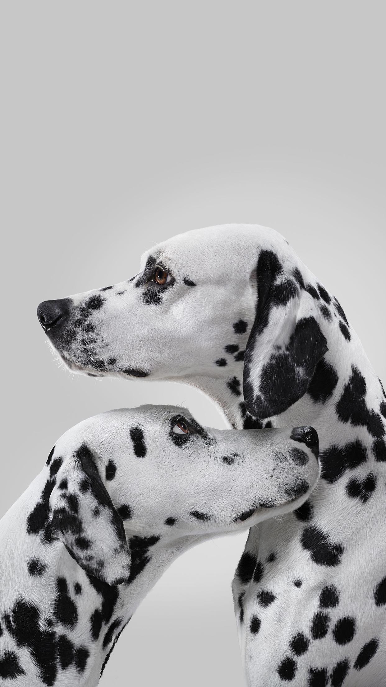 Dalmatian Couple iPhone 3Wallpapers Parallax Dalmatian Couple