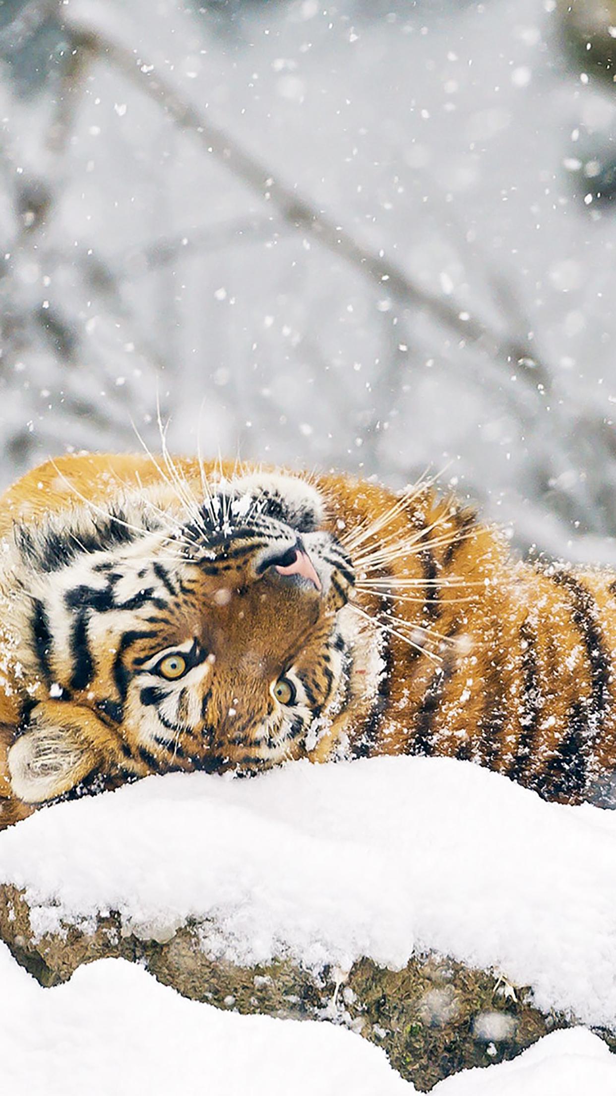 Snow animals ciberian tiger 3Wallpapers iPhone Parallax Snow animals ciberian tiger