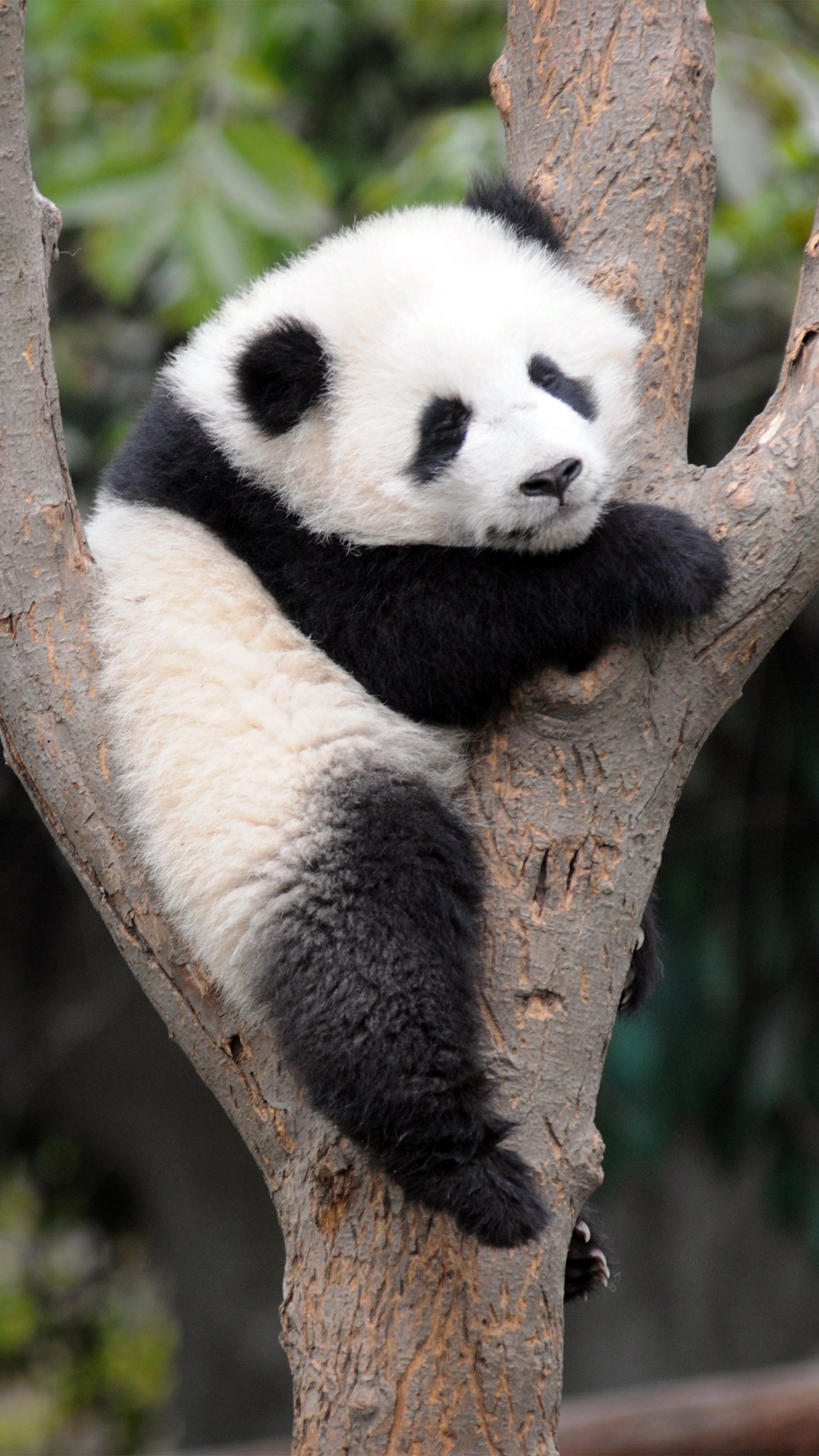 Panda sleeping Wallpaper for iPhone X, 8, 7, 6 - Free Download on 3Wallpapers