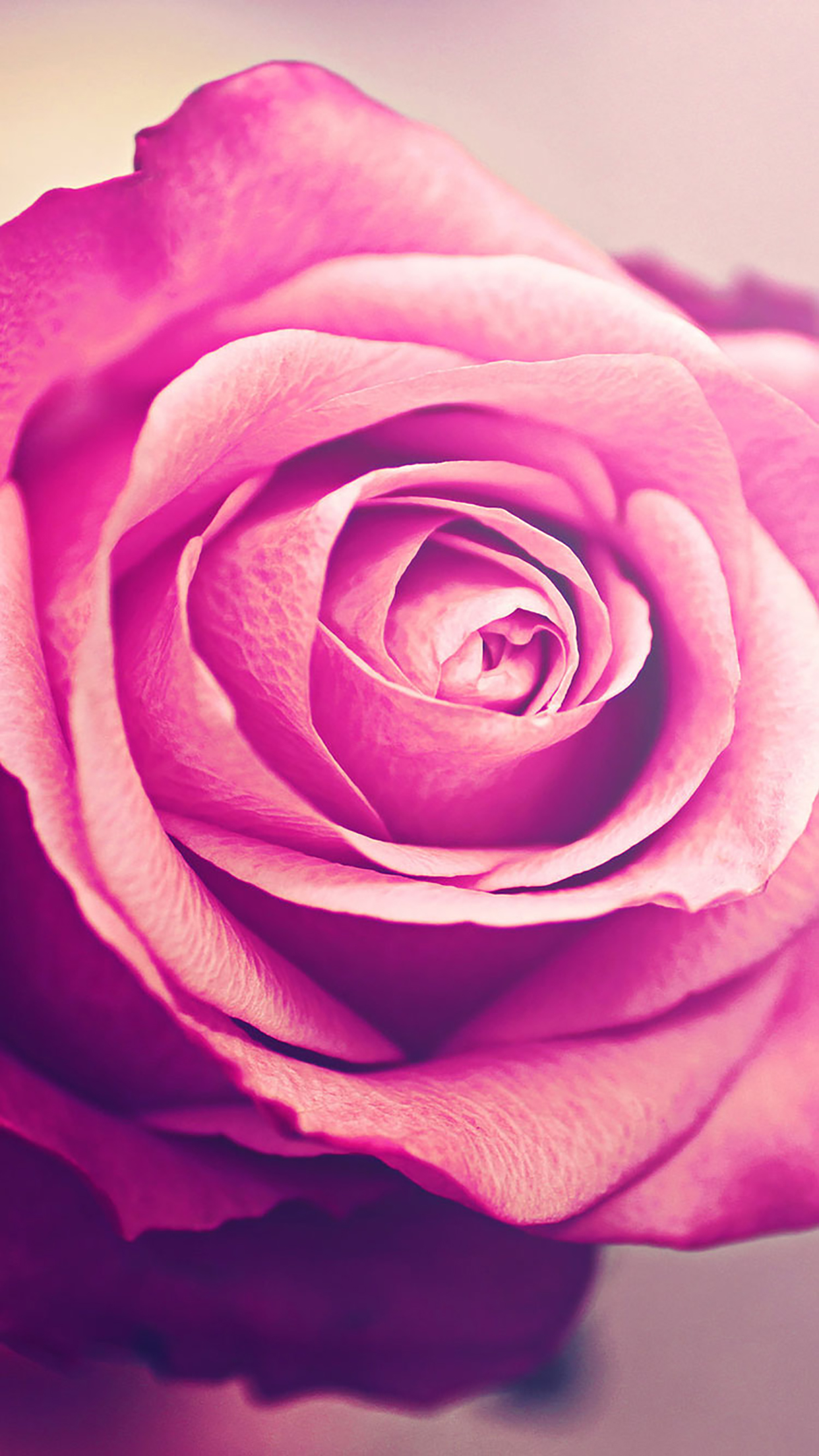 Dark Pink Rose Wallpaper Hd