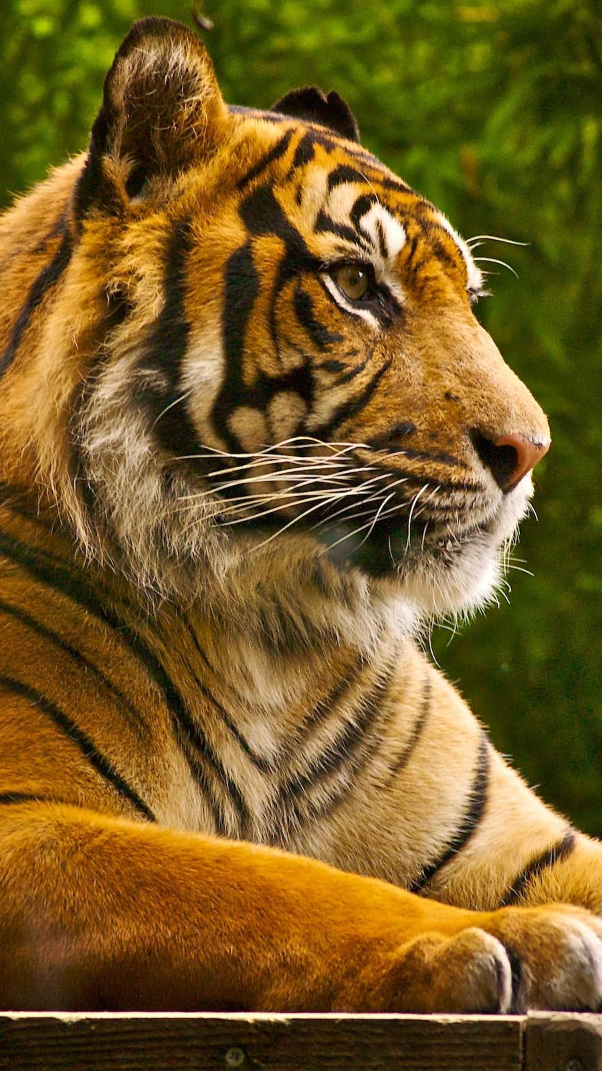 Animal Tiger Wallpaper For Iphone X 8 7 6 Free Download On