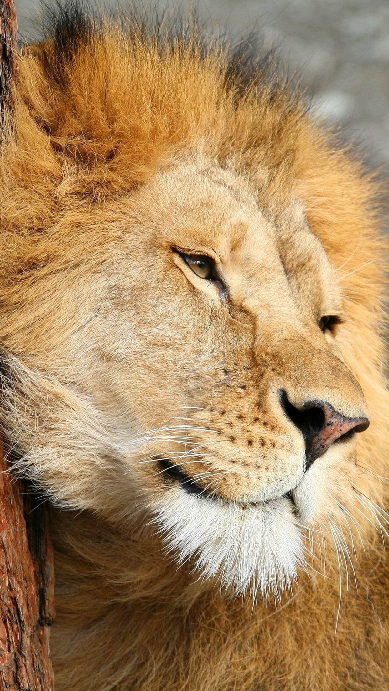 felines lion 3Wallpapers iPhone Parallax Felines Lion