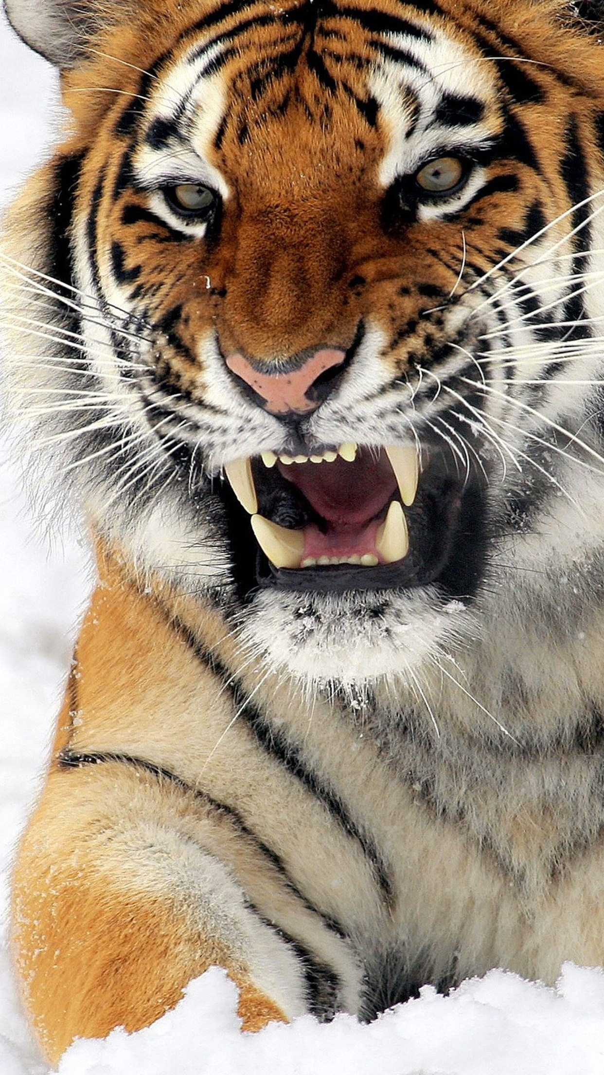 Felines Tiger Wallpaper For Iphone X 8 7 6 Free Download On