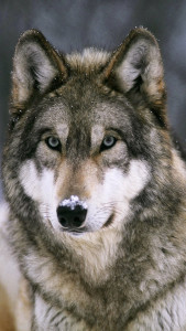 Loup Loup 3Wallpapers iPhone Parallax 169x300 Loup