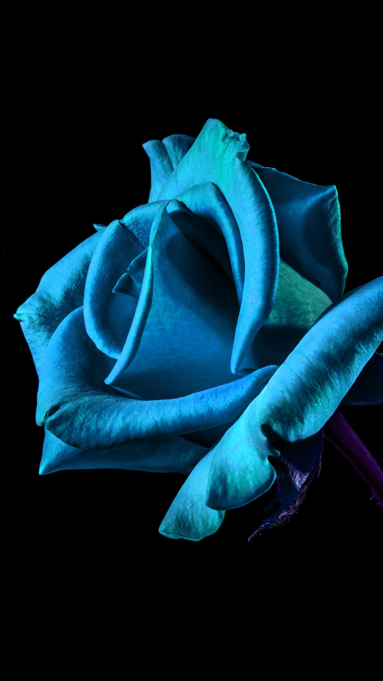 Flower dark background Rose blue 3Wallpapers iPhone Parallax 3Wallpapers : notre sélection de fonds d'écran du 03/12/2016