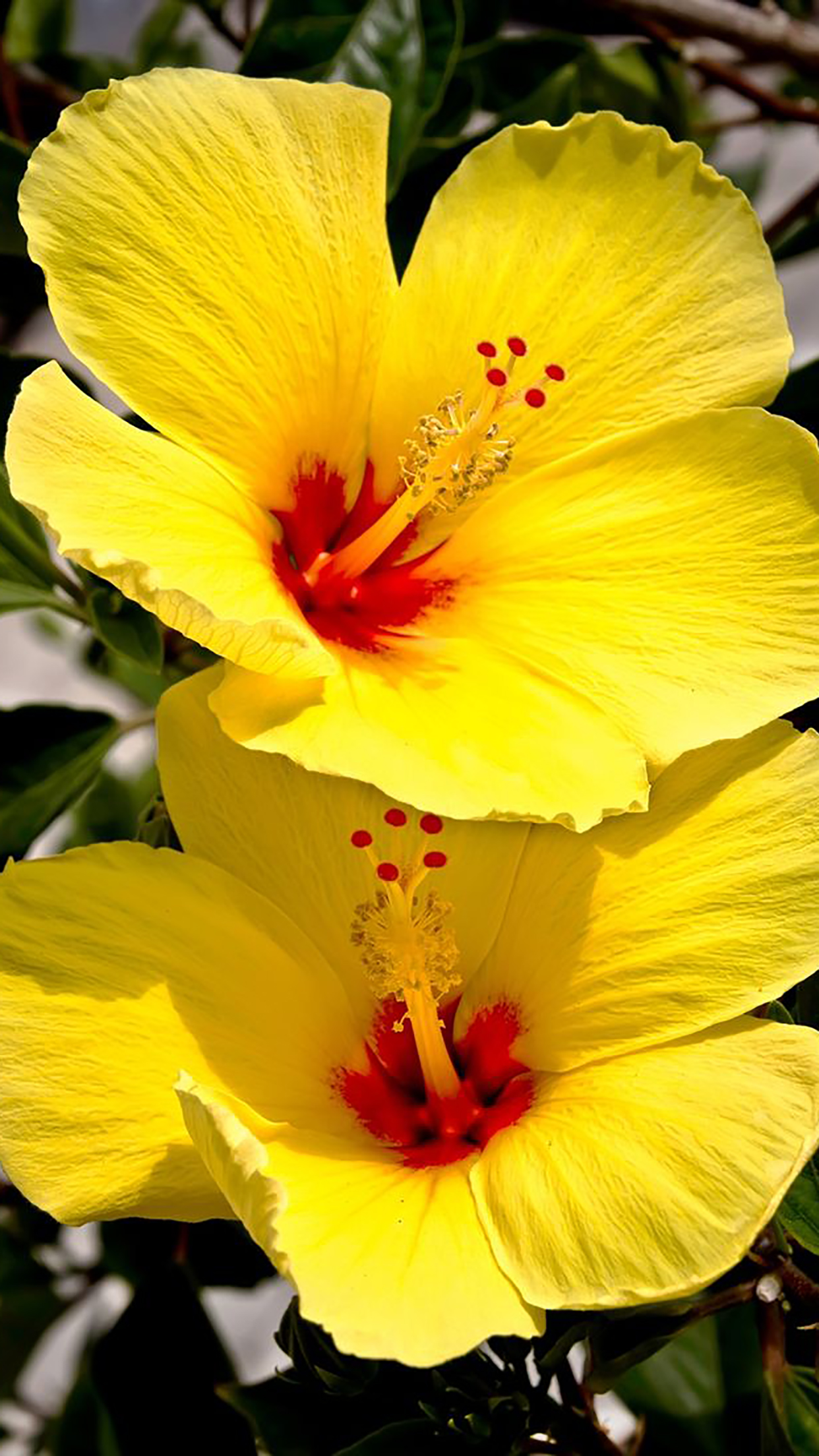 hibiscus : yellow wallpaper for iphone x, 8, 7, 6 - free download on