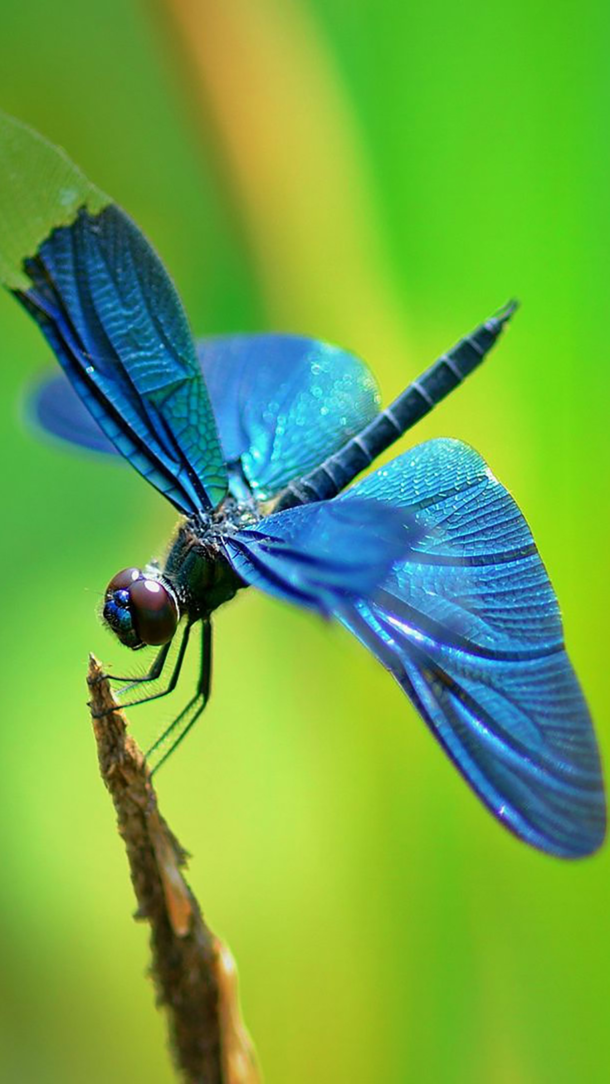 Insect Dragonfly 3Wallpapers iPhone Parallax Insect : Dragonfly