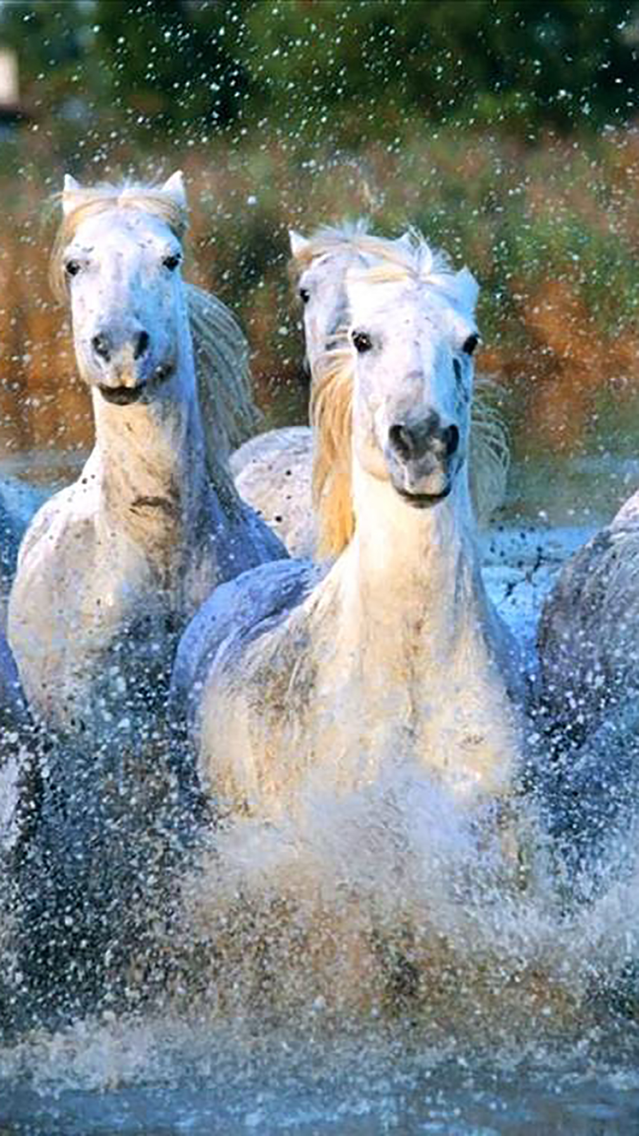 Camargue Horses Wallpaper For Iphone X 8 7 6 Free Download On