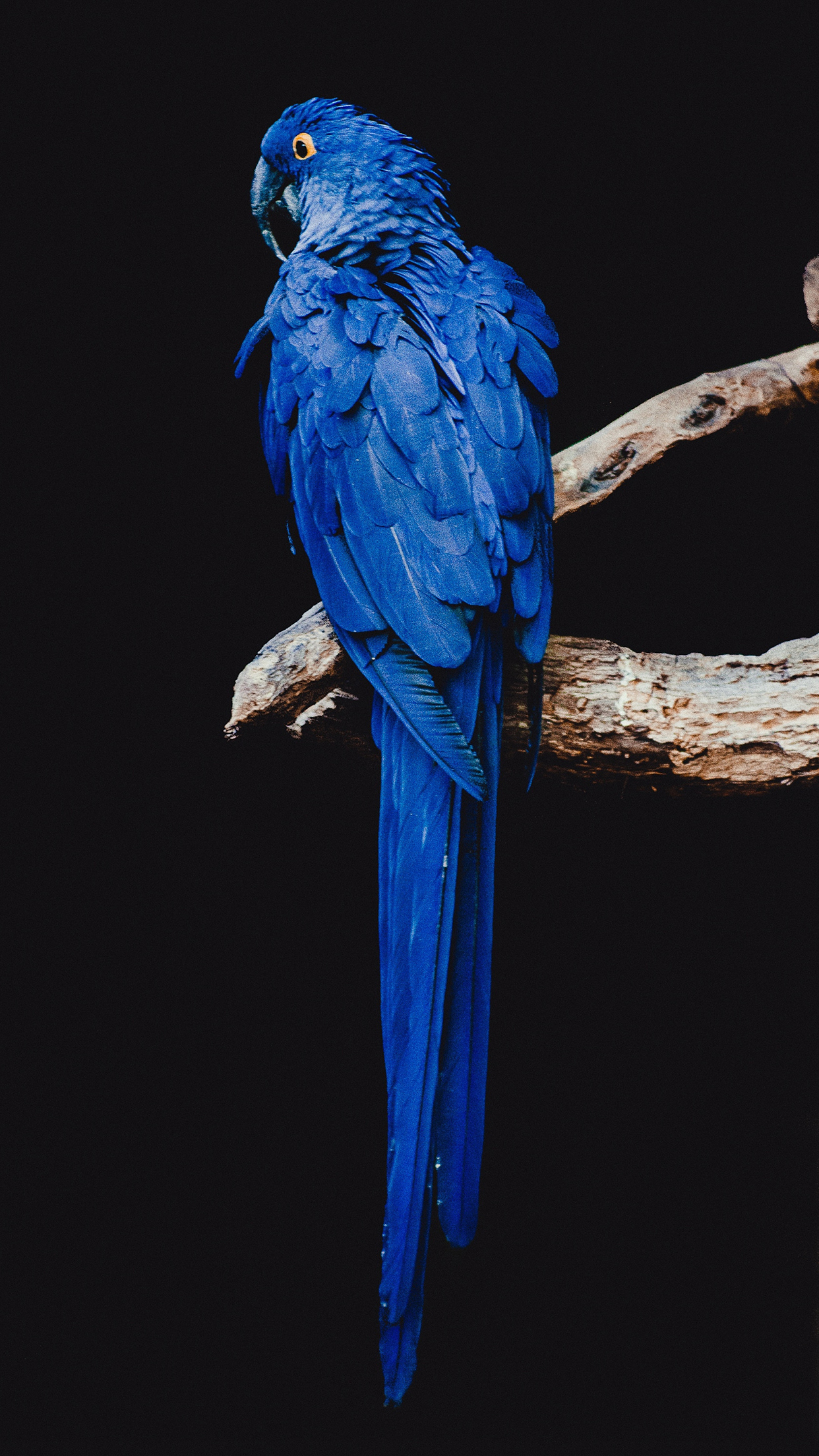 Parrot Blue 3Wallpapers iPhone Parallax 3Wallpapers : notre sélection de fonds décran du 01/10/2017