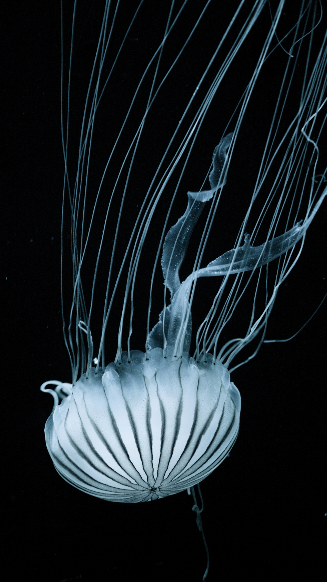 iPhone Wallpaper Jellyfish white 3Wallpapers : notre sélection de fonds d'écran du 01/02/2018