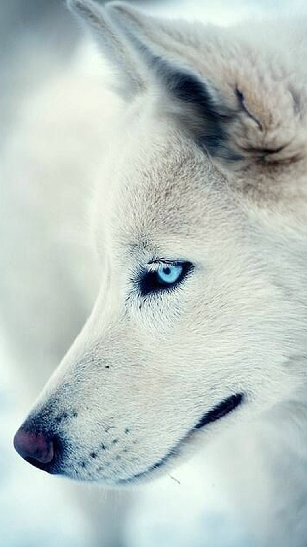 iPhone wallpaper white wolf Wolf