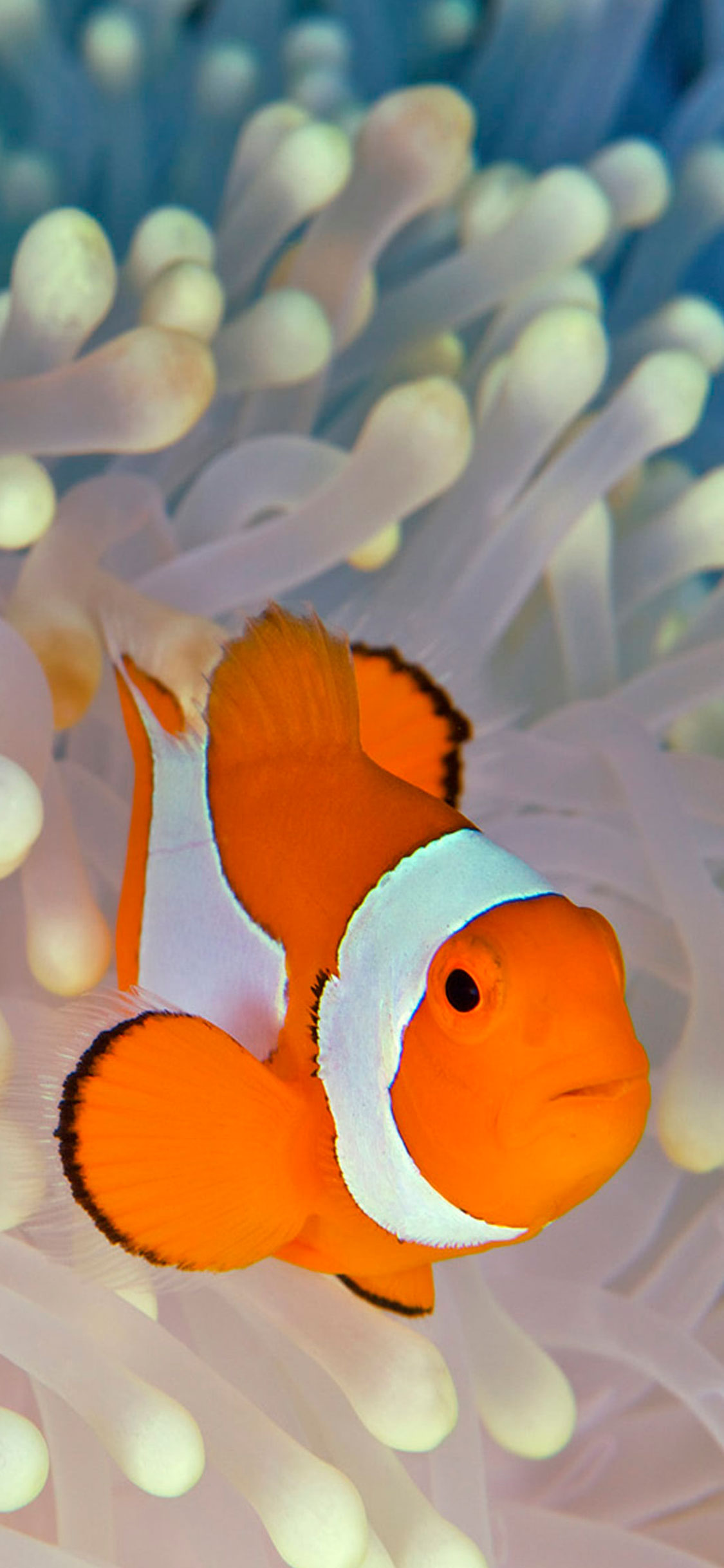 iPhone wallpaper clownfish 2 Fonds d'écran iPhone du 08/06/2018