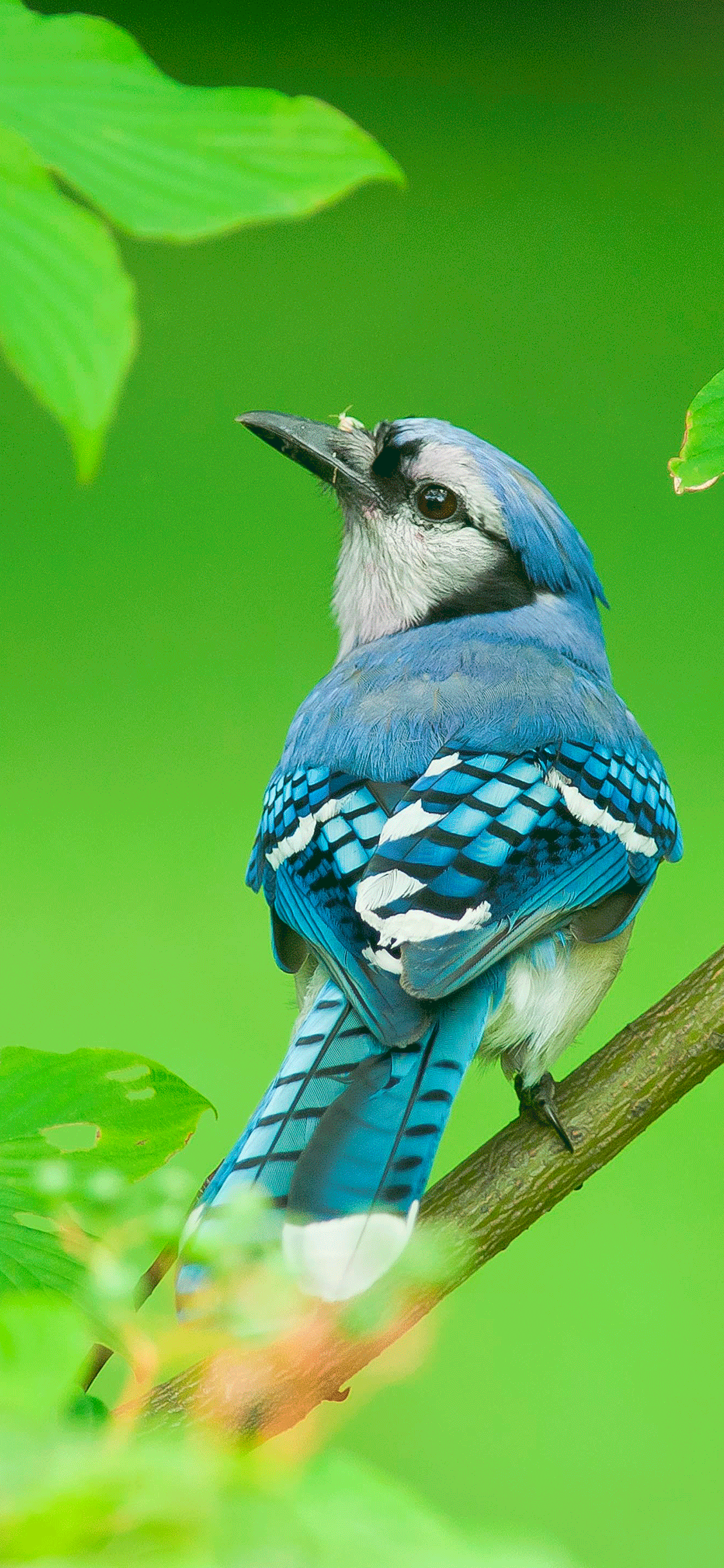 iPhone wallpaper bird blue jay Fonds d'écran iPhone du 02/07/2018